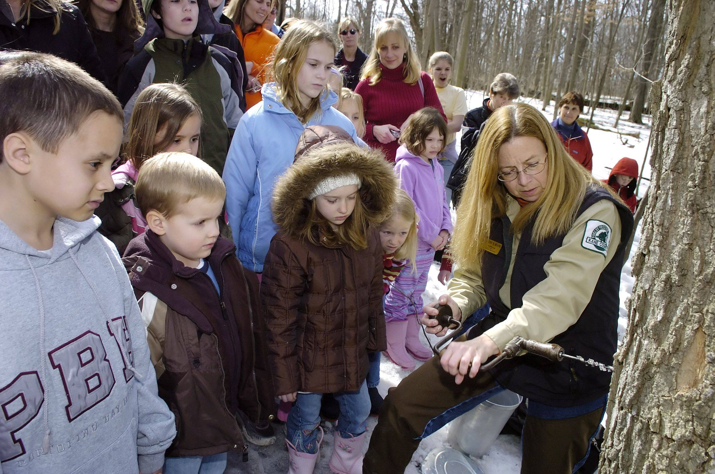 "After a ""Sugarin' Time"" hike to teach visitors how to distinguish maples from other hardwood species, Kane County Naturalist Valerie Blaine drills a hole in an adult maple tree to put a tap in it to collect sap at the Maple sugaring event at Tekakwitha Woods Forest Preserve in St. Charles."