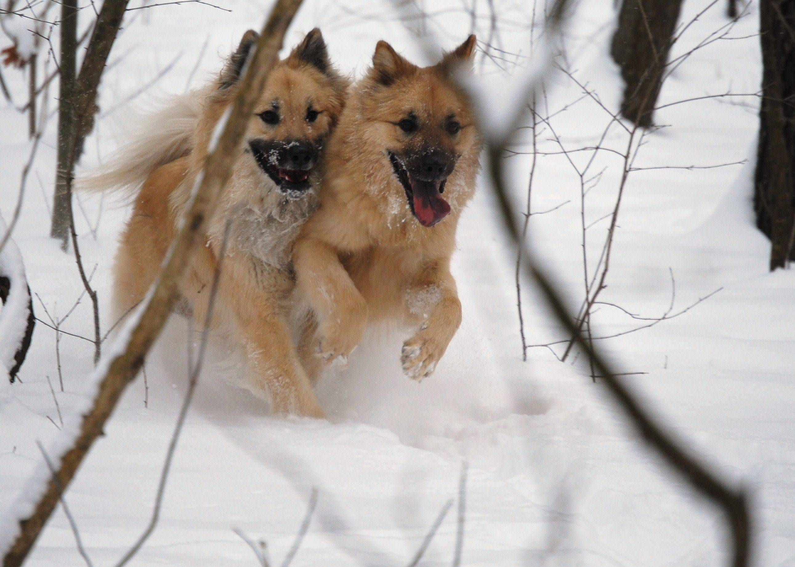 Debra Ferguson of KildeerBrothers Theo and Hoagi race through the woods on a snowy day at the dog park.