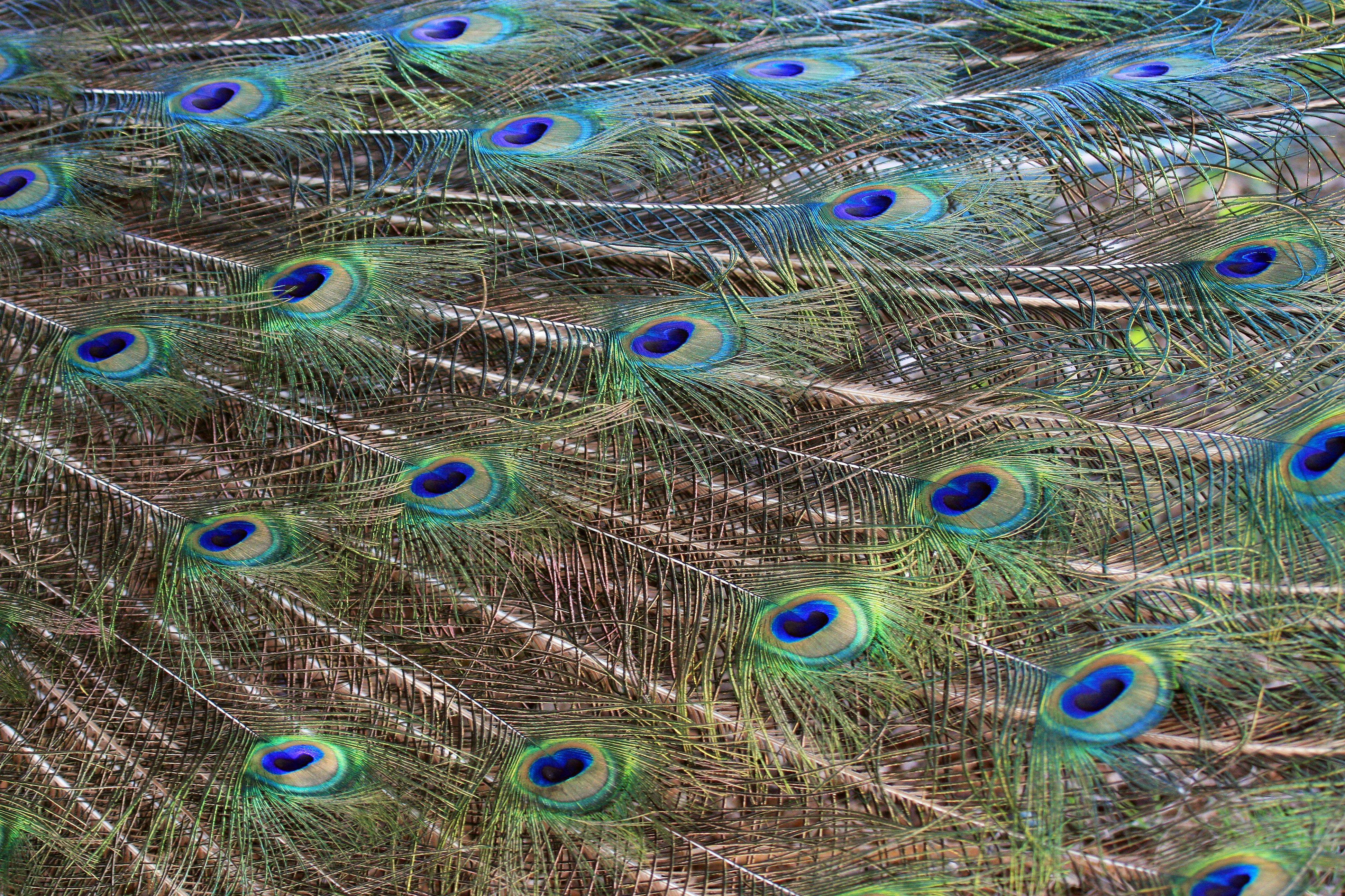 Photo by Susan Birr of CarpentersvilleAs the peacock spread its iridescent feathers, at Brookfield Zoo I took the opportunity for this close-up shot.