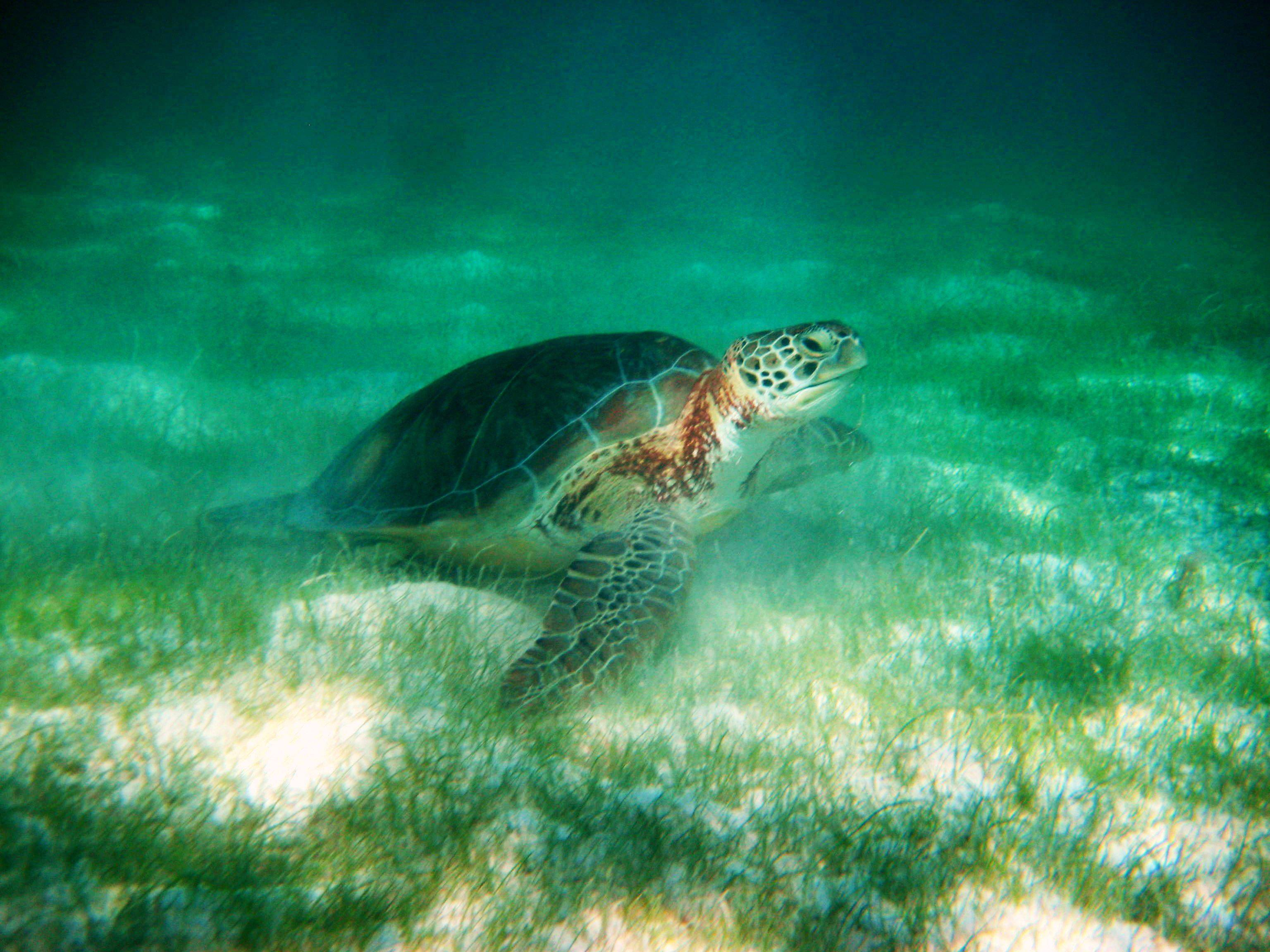Ken Mikeska of GurneeA peaceful day snorkeling with Sea Turtles in Tulum Mexico last month.
