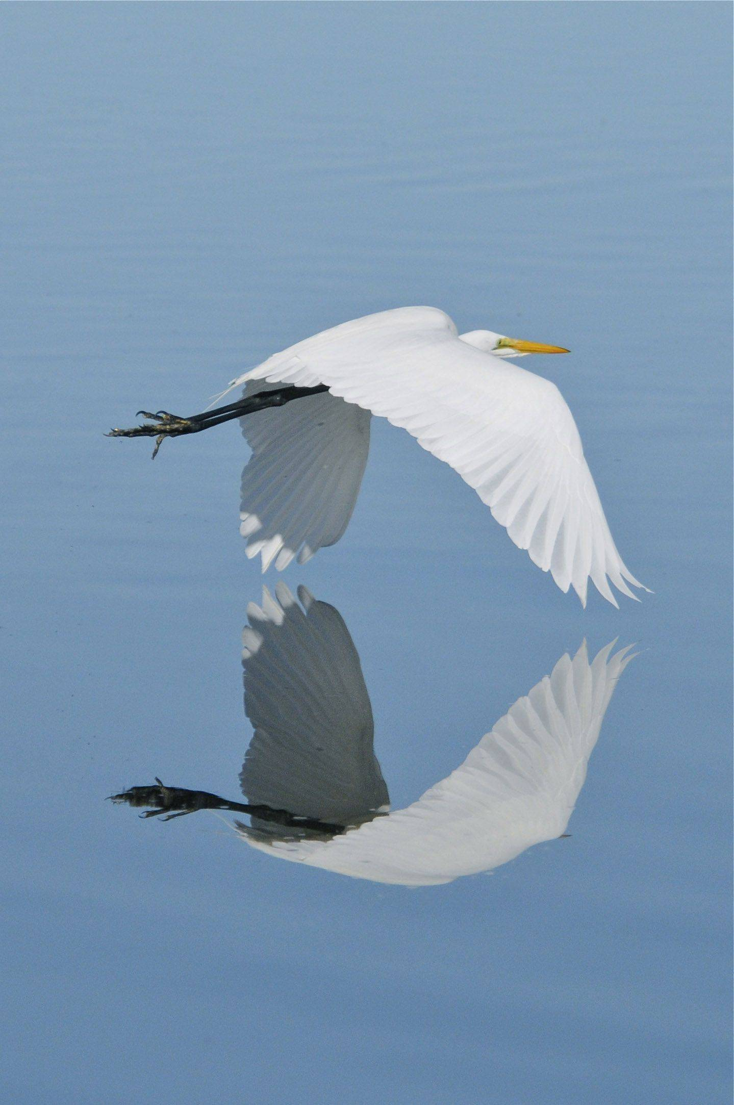 Bill Merrick of Elk Grove VillageA Great Egret is in flight with it's reflection�in January at the Ding Darling Refuge on Sanibel Island, Florida.