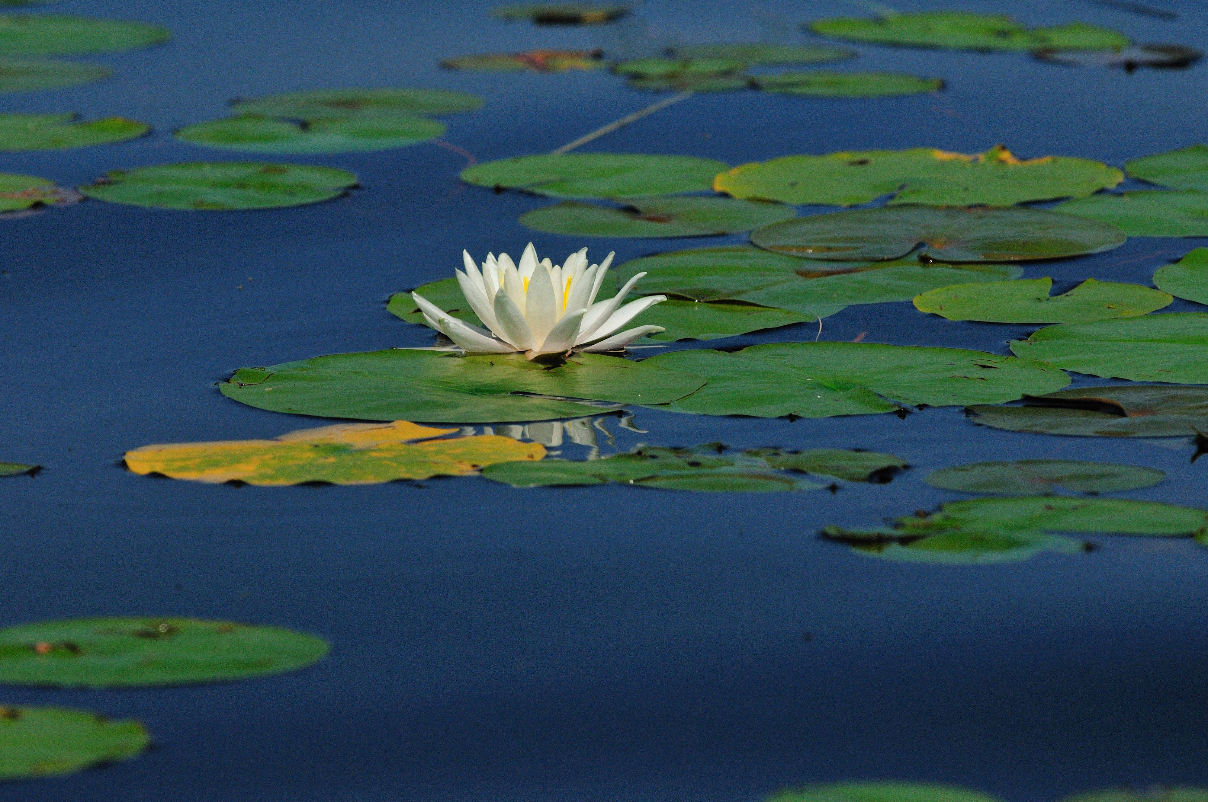 Bob Esbensen of PalatineA water lily and lily pads in Wisconsin last summer.