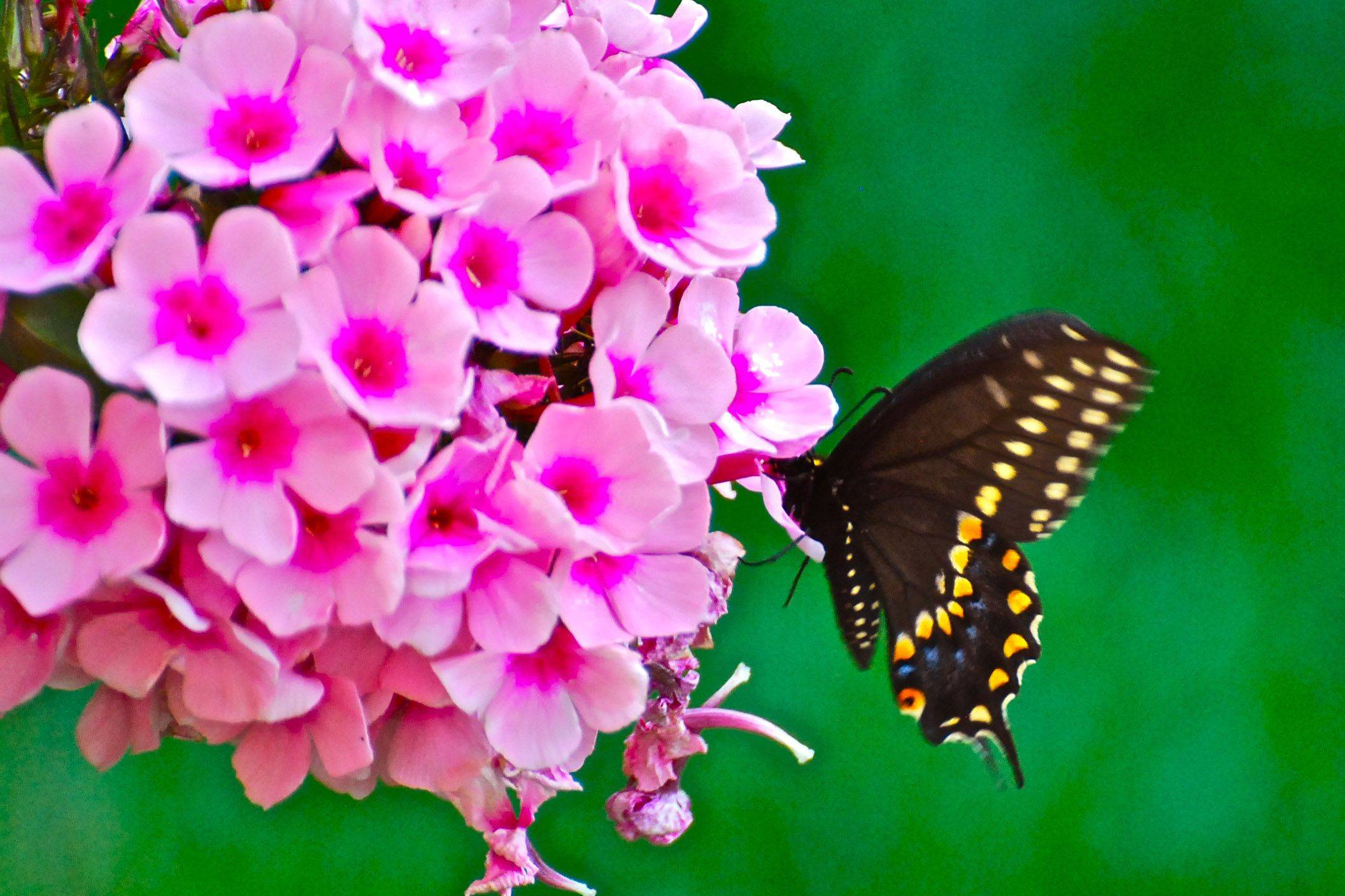Milton Hoskins of HampshireThis swallowtail must like what the phlox has to offer since the butterfly is straddling a petal to get at it. I hope to see these both in my Hampshire yard again this year.