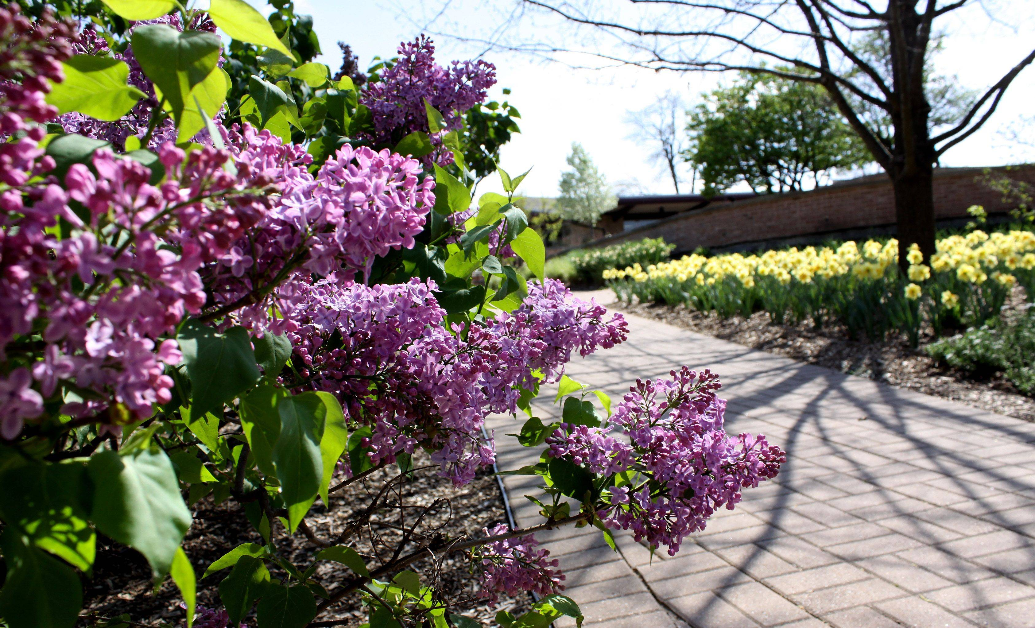 Lilacs bloom each spring in Lombard's Lilacia Park, drawing visitors to the village's Lilac Time parade and celebration.