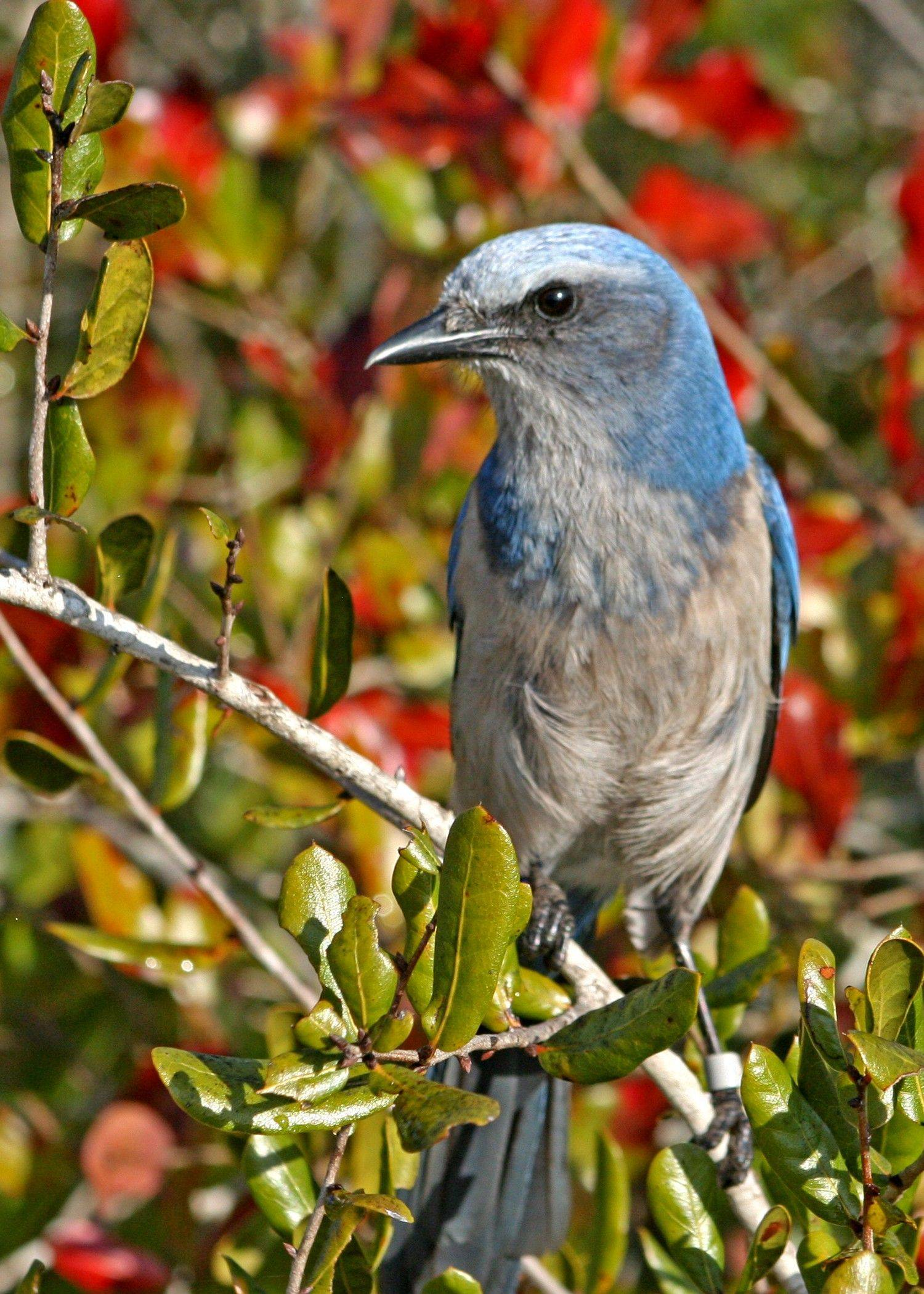 Florida scrub-jay is the Sunshine State's only endemic species. The decline in scrub habitat threatens its survival.