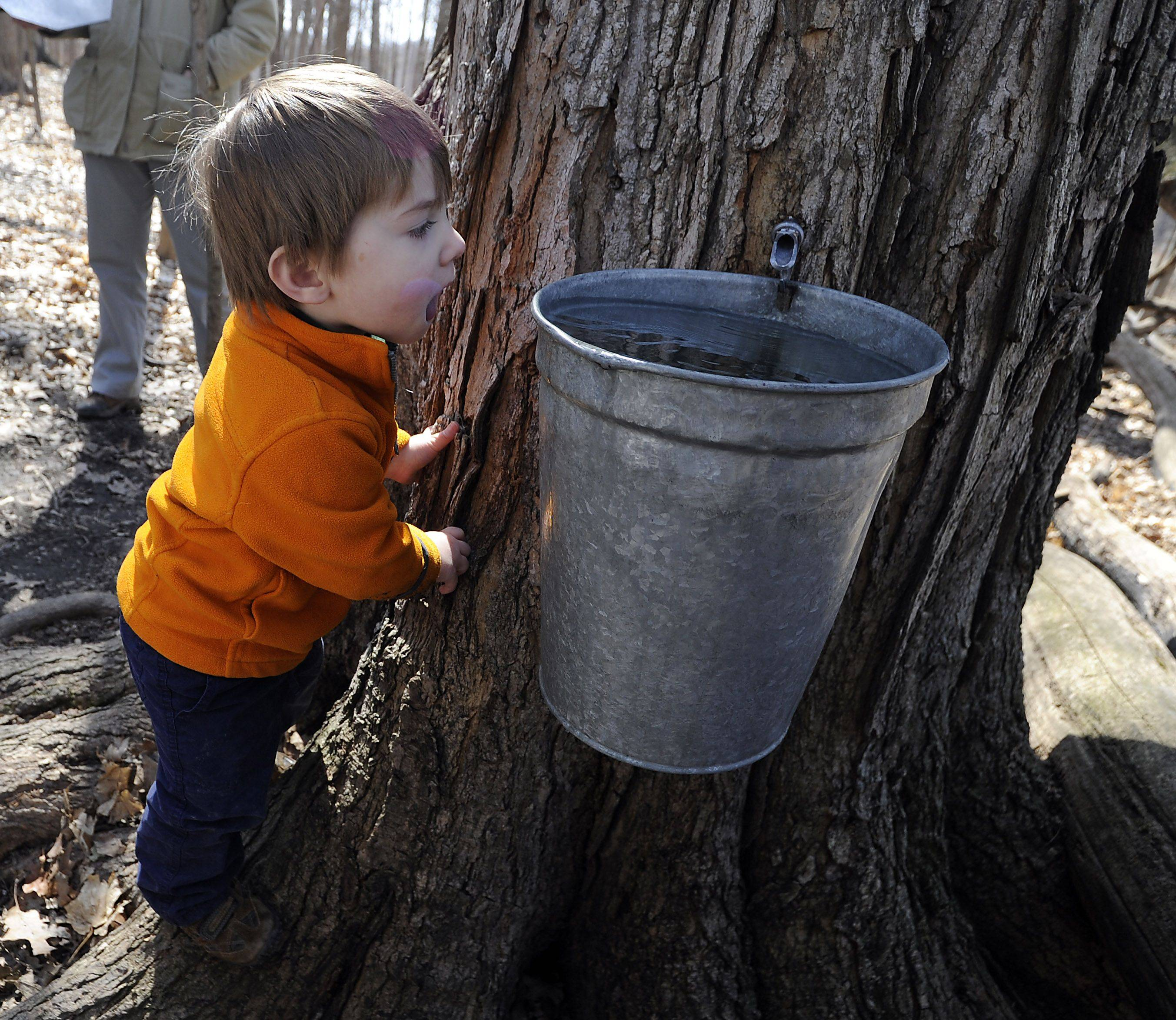Ryerson Woods Forest Preserve Maple trees started producing their sap for the season which started in February which got David Wurl, 3, of Gurnee curious about what was in these buckets hanging from the trees.