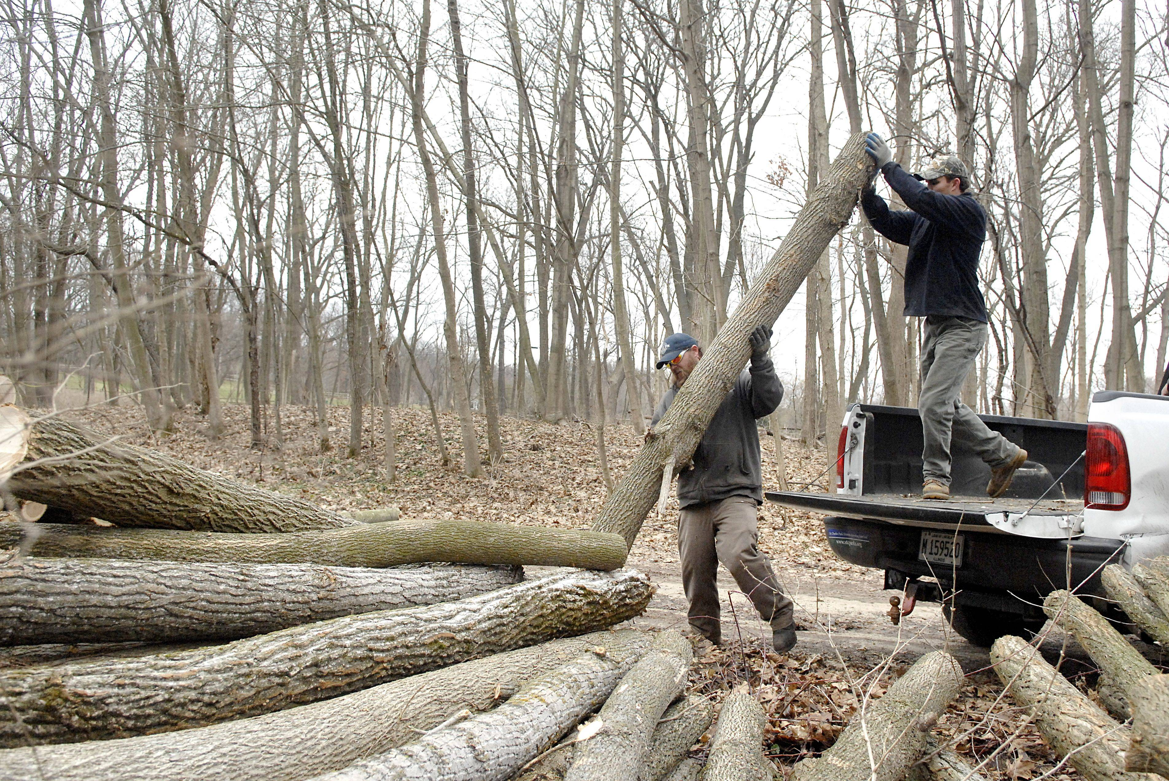 Josh Clark, left, and Eric Hoogveld with the St. Charles Park District unload and stack the last of 16 ash trees they and a crew cut down at the Norris Woods Forest Preserve in St. Charles on Thursday, March 24. The trees were cleared along the trail at the preserve as part of the soon to start watershed and stabilization project. 30 ash trees were cut down over two days. The park district clears about 5% of their ash trees every winter because of the insect.