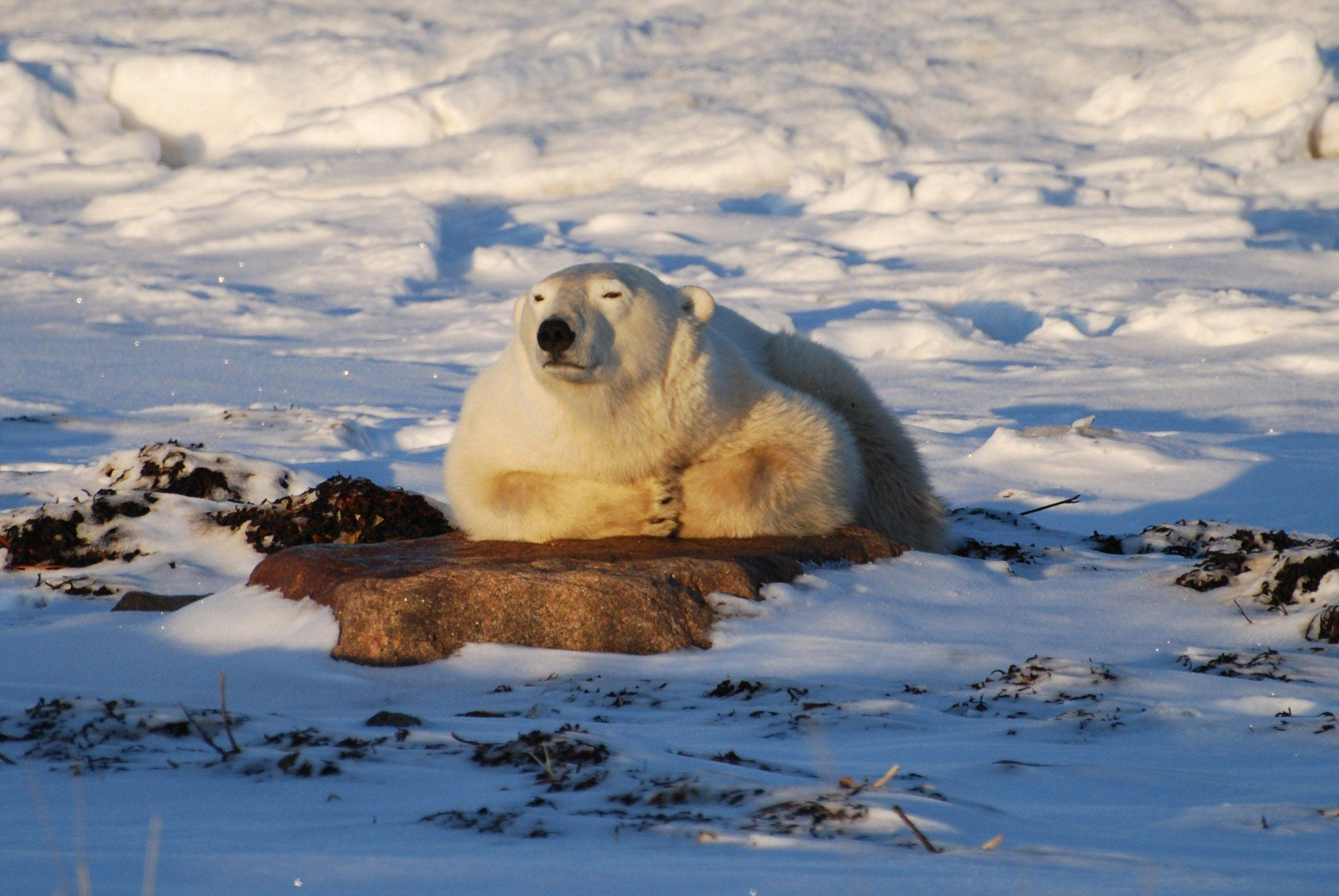 A young male polar bear sunbathes on a rock in Churchill, Manitoba as he waits for the Hudson Bay to freeze.
