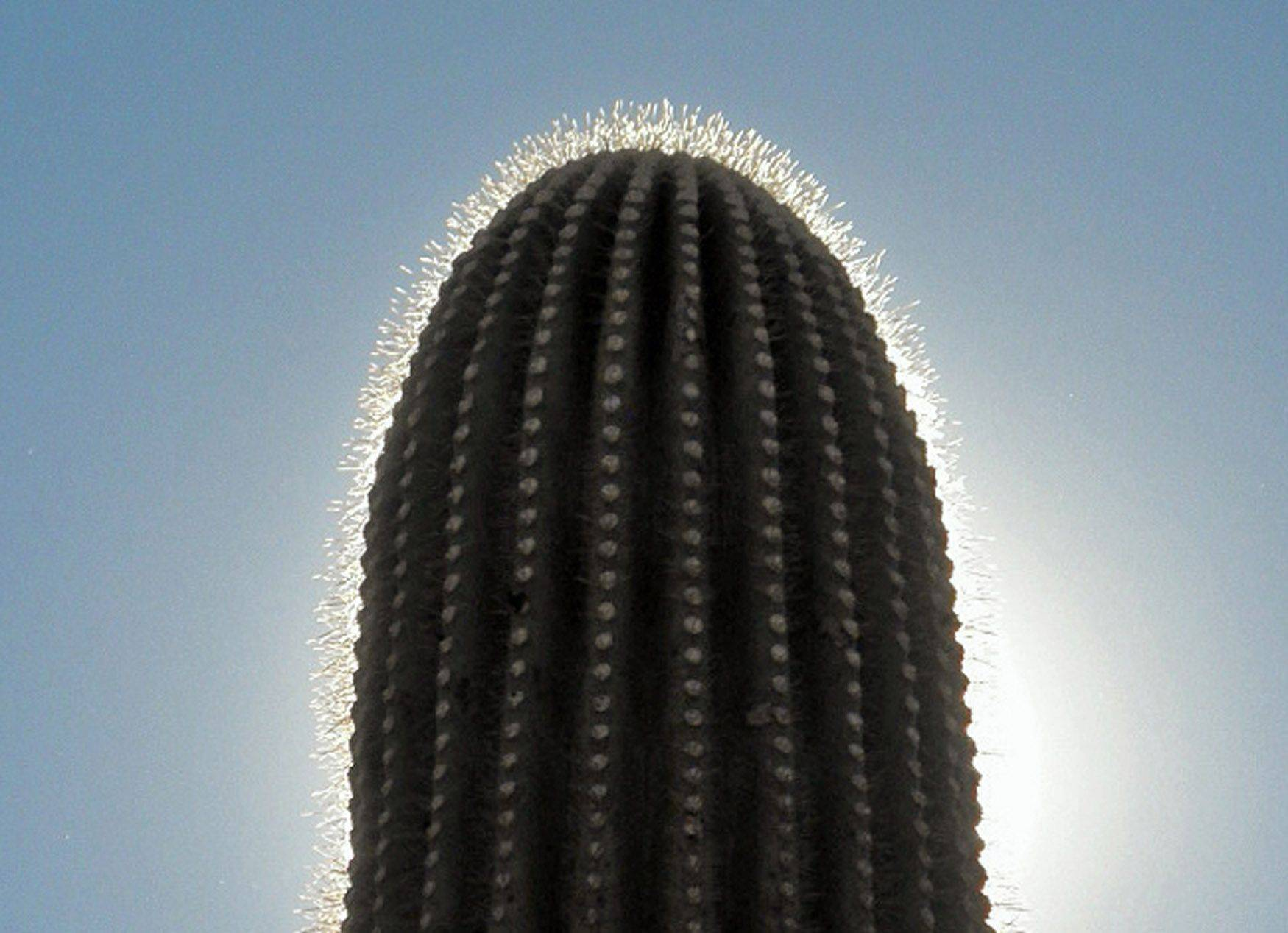 Th sun shines on a saguaro cactus last month in the Saguaro National Monument in Tucson, Arizona.