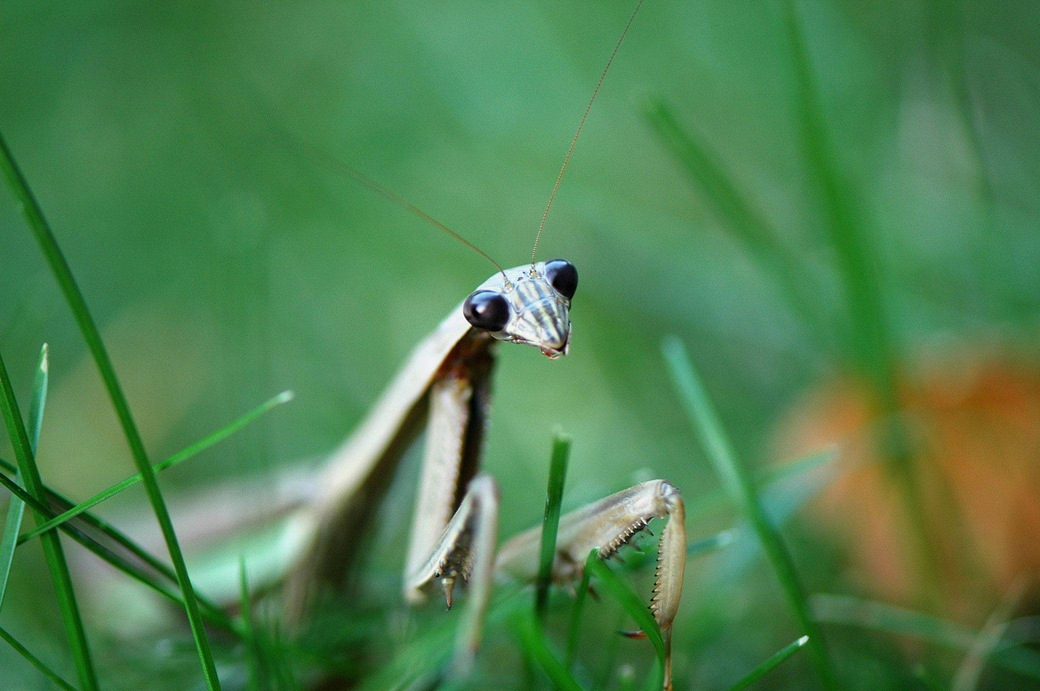 A praying mantis stands in the grass in a Palatine back yard in the fall of 2008.