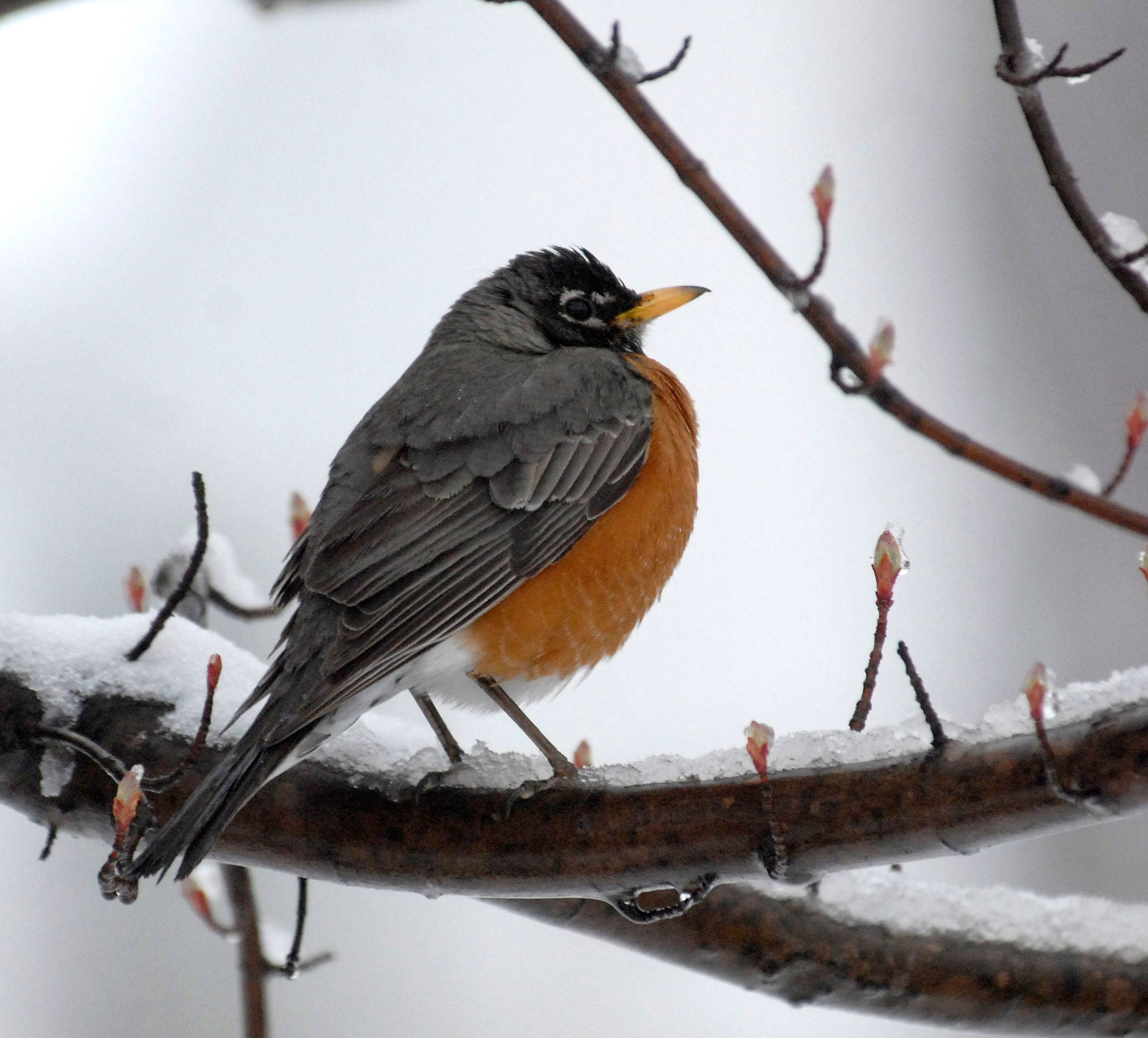 A robin suspends hunting when about an inch of snow gave Spring a detour this morning in Arlington Heights.