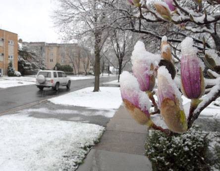 Magnolia blossoms are shrouded this morning when about an inch of snow fell in Arlington Heights.