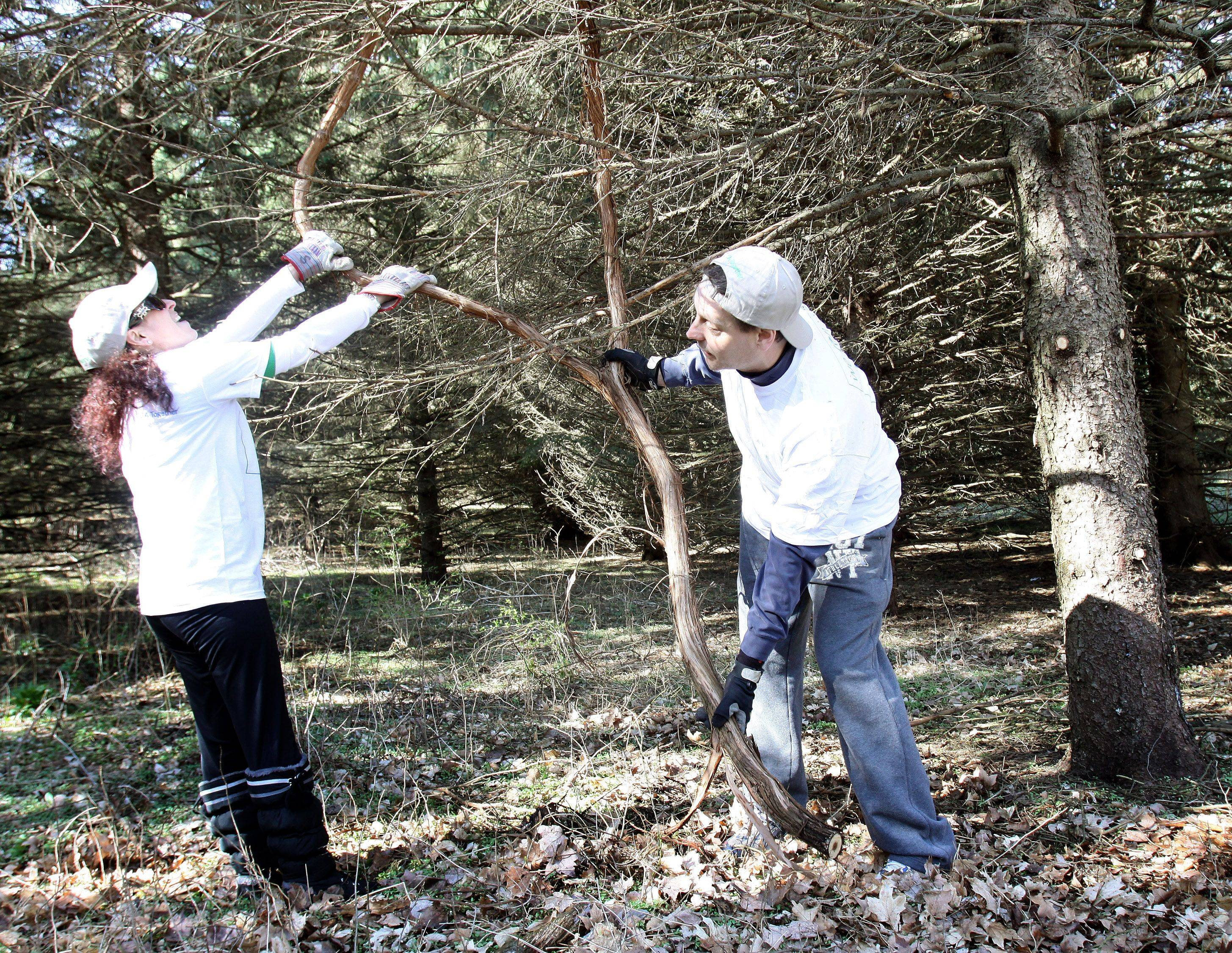 Diana Parks and Sean Markley of CA Technologies in Lisle try to remove a large vine from an evergreen Thursday at St. James Farm Forest Preserve near Warrenville. It was part of an annual worldwide Earth Day event for the company.