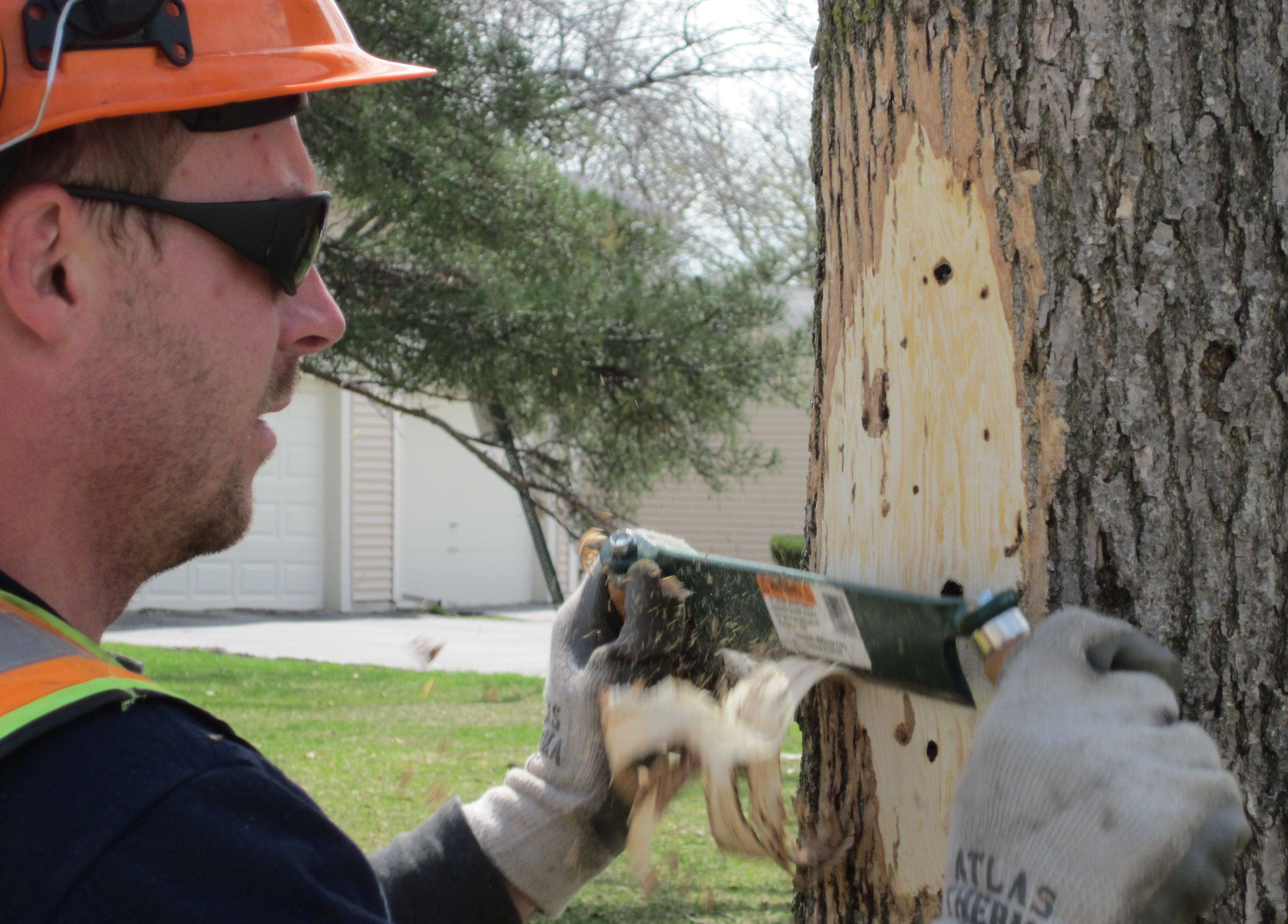 Josh Hansen, a member of Vernon Hills' forestry and grounds crew, strips the bark of an ash tree suspected of being infected by the emerald ash borer on Greenleaf Drive. The village will have removed about 65 trees within a week.