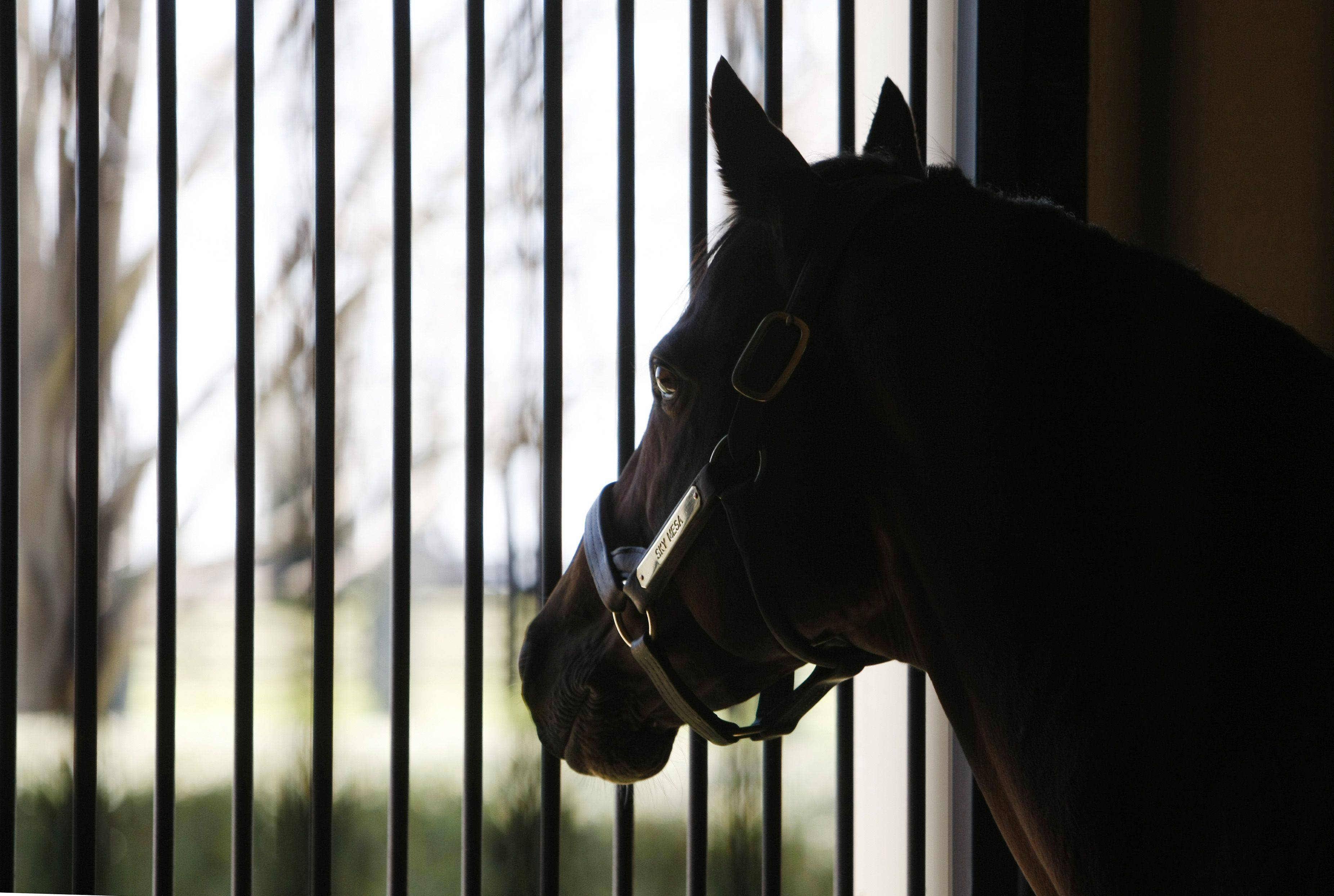Sky Mesa looks out the window of his stall.