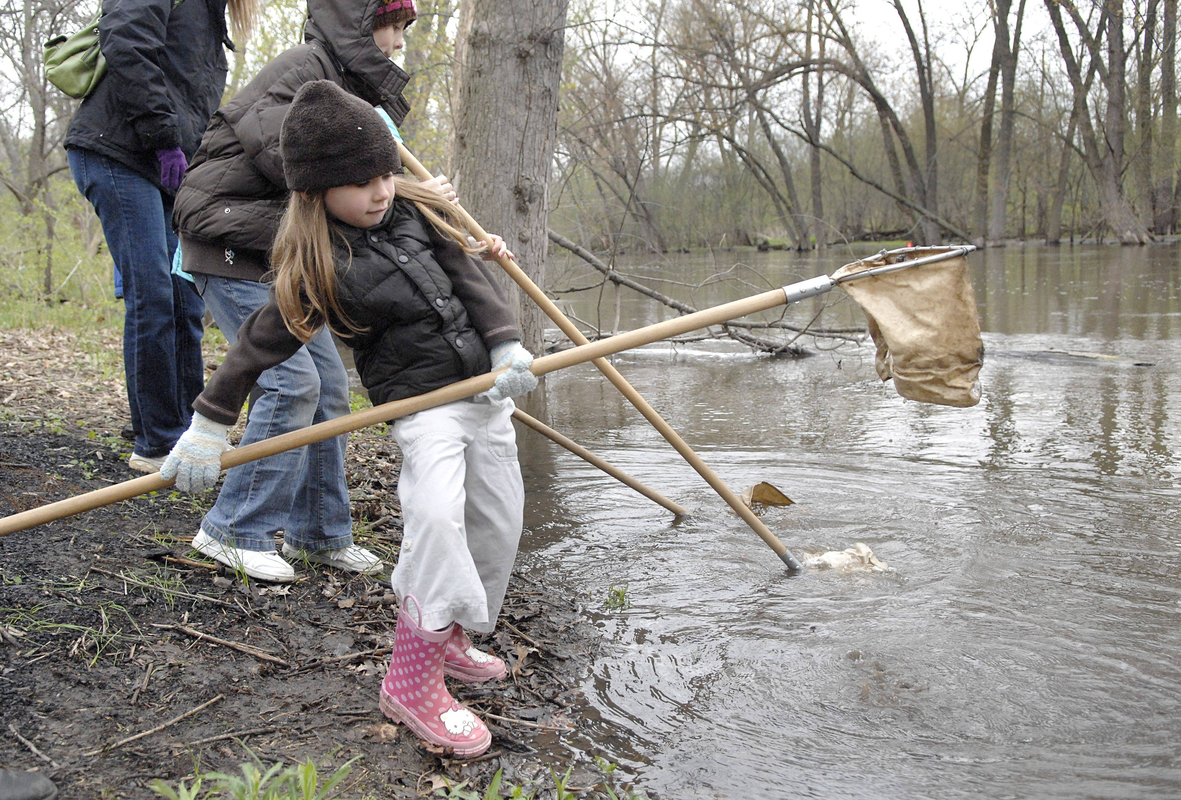 "Alexandra Warta-Collins, 5, of Batavia struggles with a long net while scooping Fox River water in the Kane County Forest Preserve's Homeschool Explorations class called ""Snail & Slugs"" at Les Arends Forest Preserve in Batavia Thursday. The cool weather made it hard to find snails or slugs, but they found other water creatures."