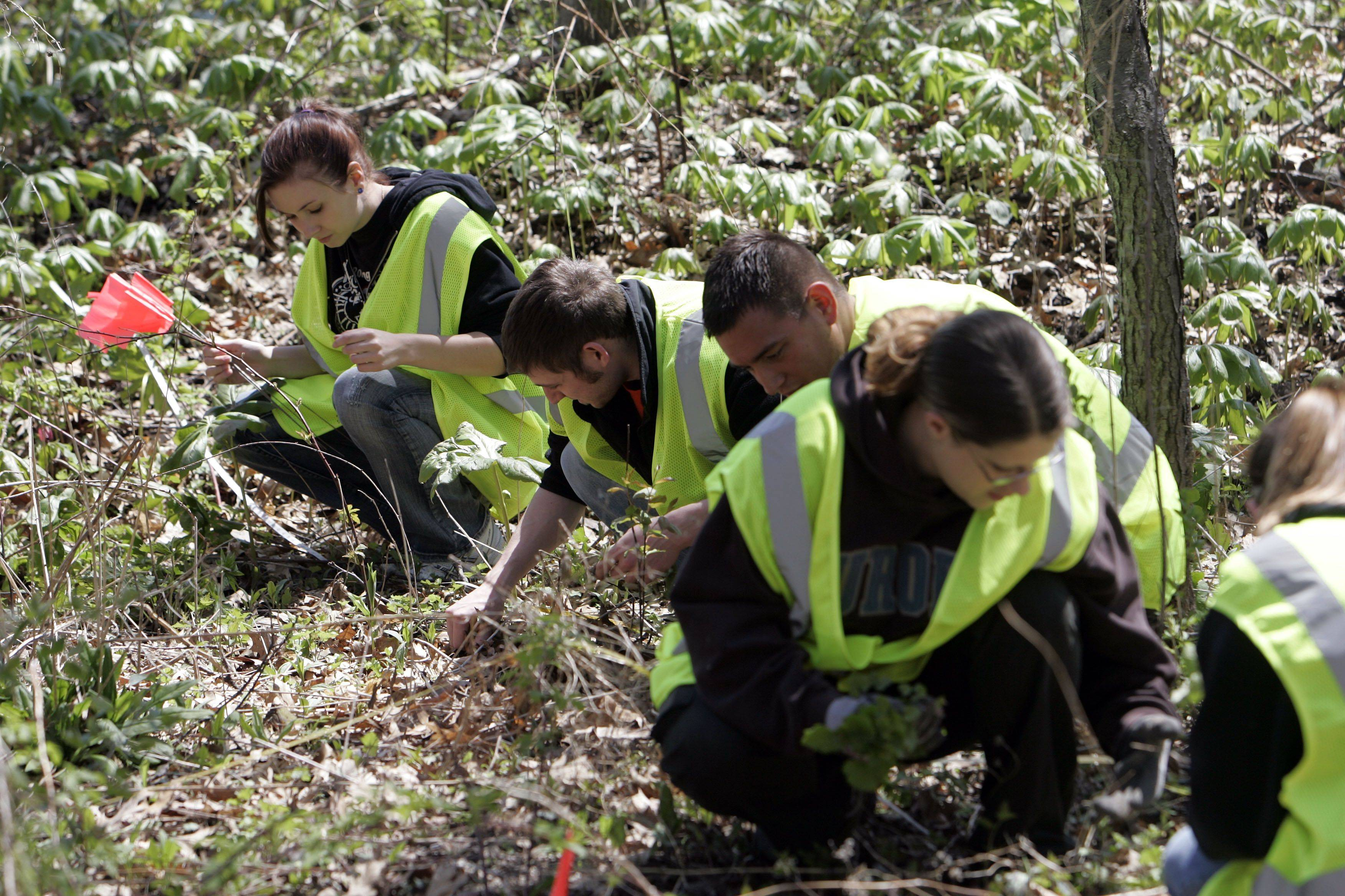 Christina Rogalske, of Lombard, top left, and students from Aurora University remove garlic mustard from Red Oak Nature Center in North Aurora Friday. The invasive plant has spread throughout the preserve causing indigenous species to pull back.