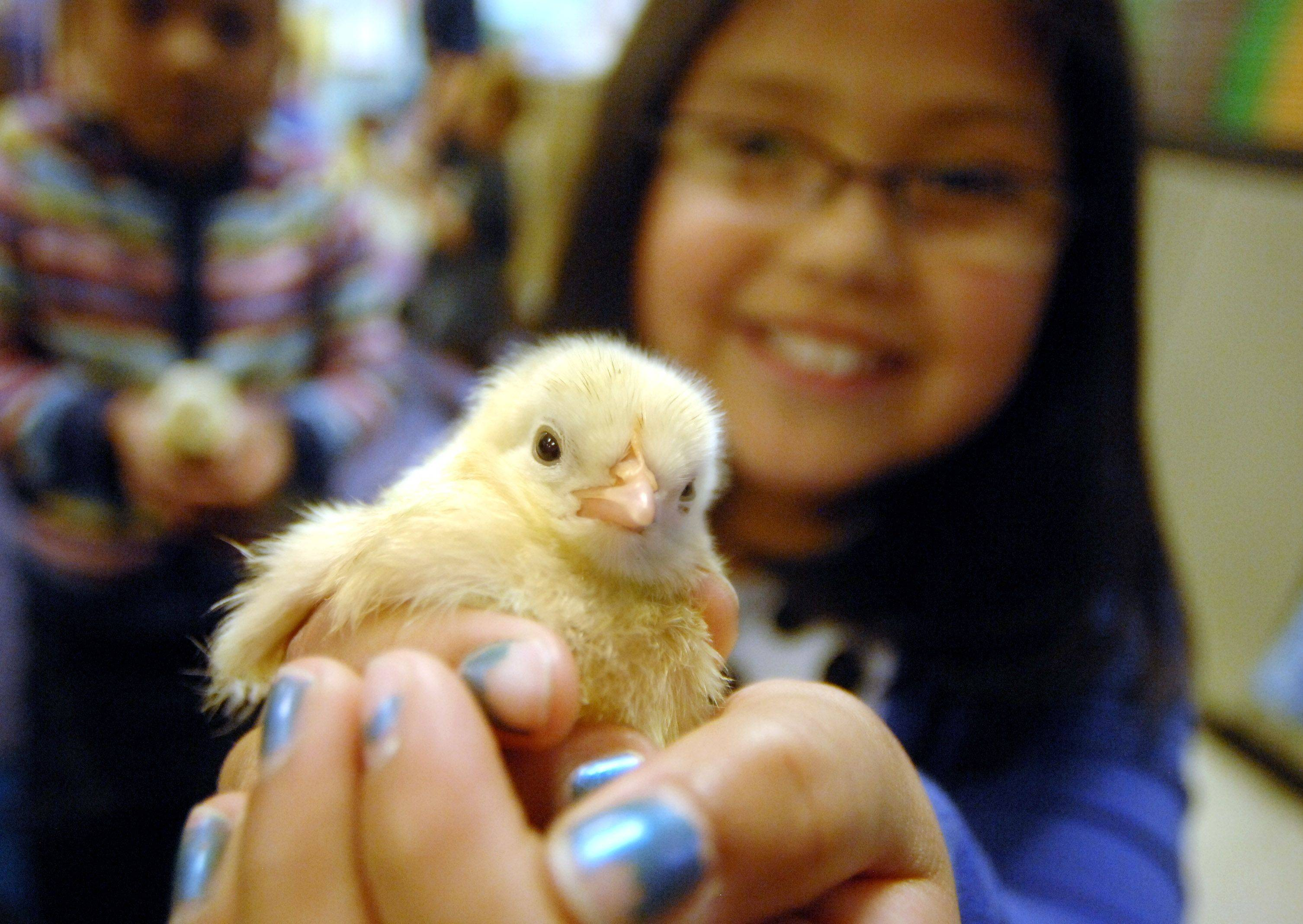 First grade students in Emily Campbell's class got to hold baby chicks Friday at Fairhaven School in Mundelein. Bianca Rico, 7, and her fellow classmates have been learning about the hatching process and watched the chicks hatch this week.
