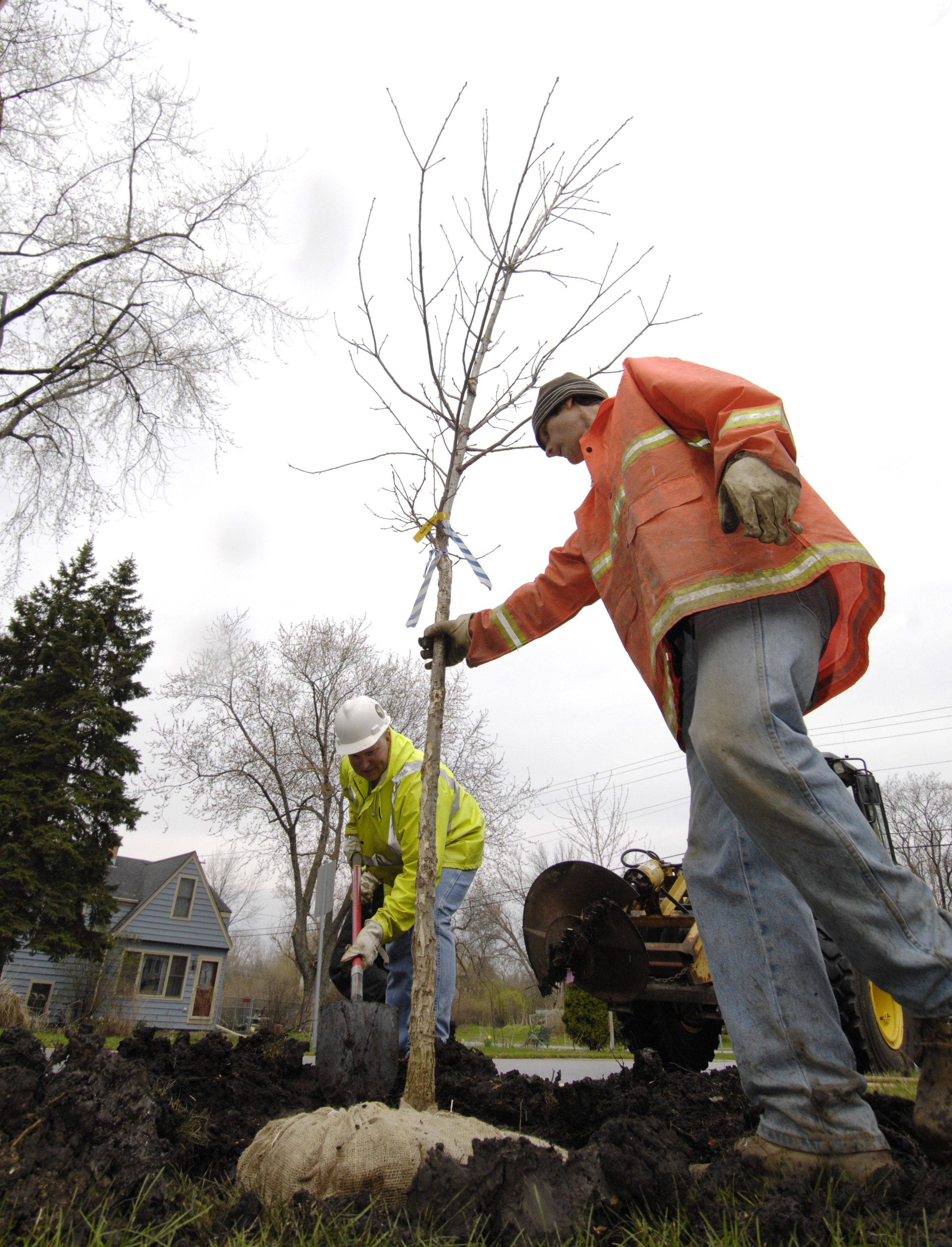 Wheaton forestry department employees Bill Minerly and Kirby Michelson plant a replacement Swamp White Oak in the parkway along the 400 block of South Gables Blvd.