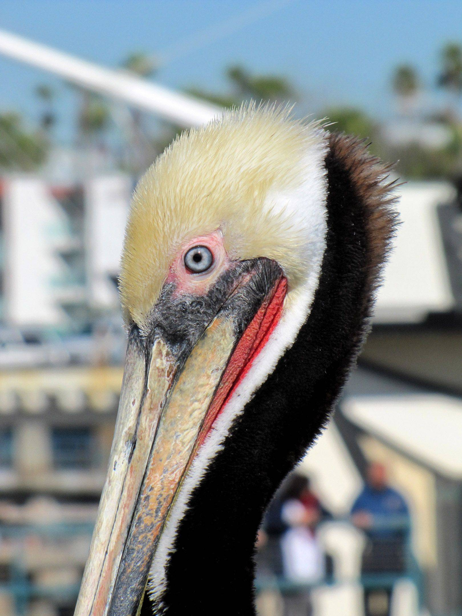 The colors on this brown pelican are striking as he waits for hand outs on the pier in Redondo Beach, CA.