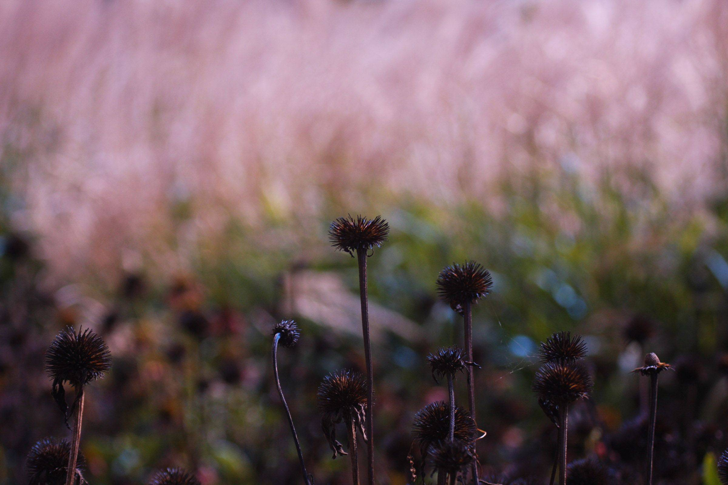 A color filter accentuates the pinks and blues of an echinacea plant at the Chicago Botanic Gardens last September.