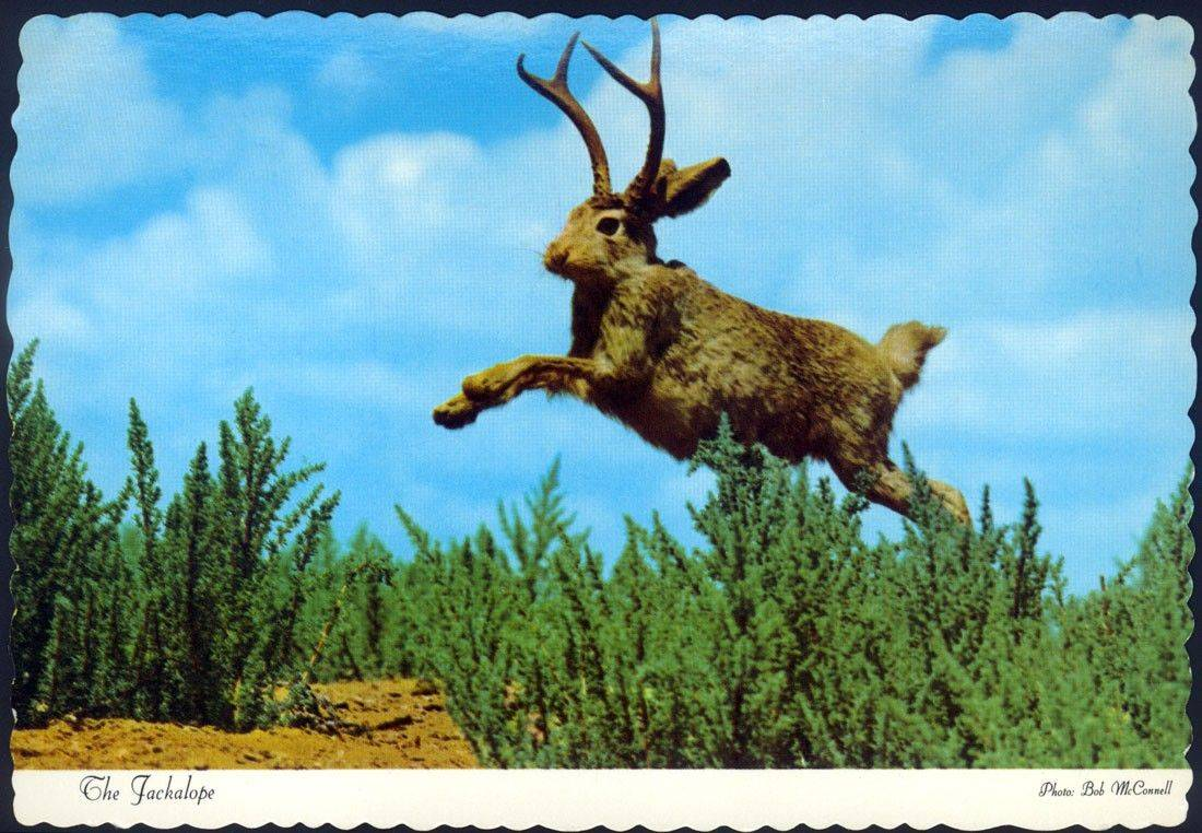 "Yes, it's a jackalope on an undated postcard in the traveling exhibit ""Storytelling through the Mail: Tall Tale Postcards"" which will be at the Arlington Heights Historical Museum through Aug. 28."