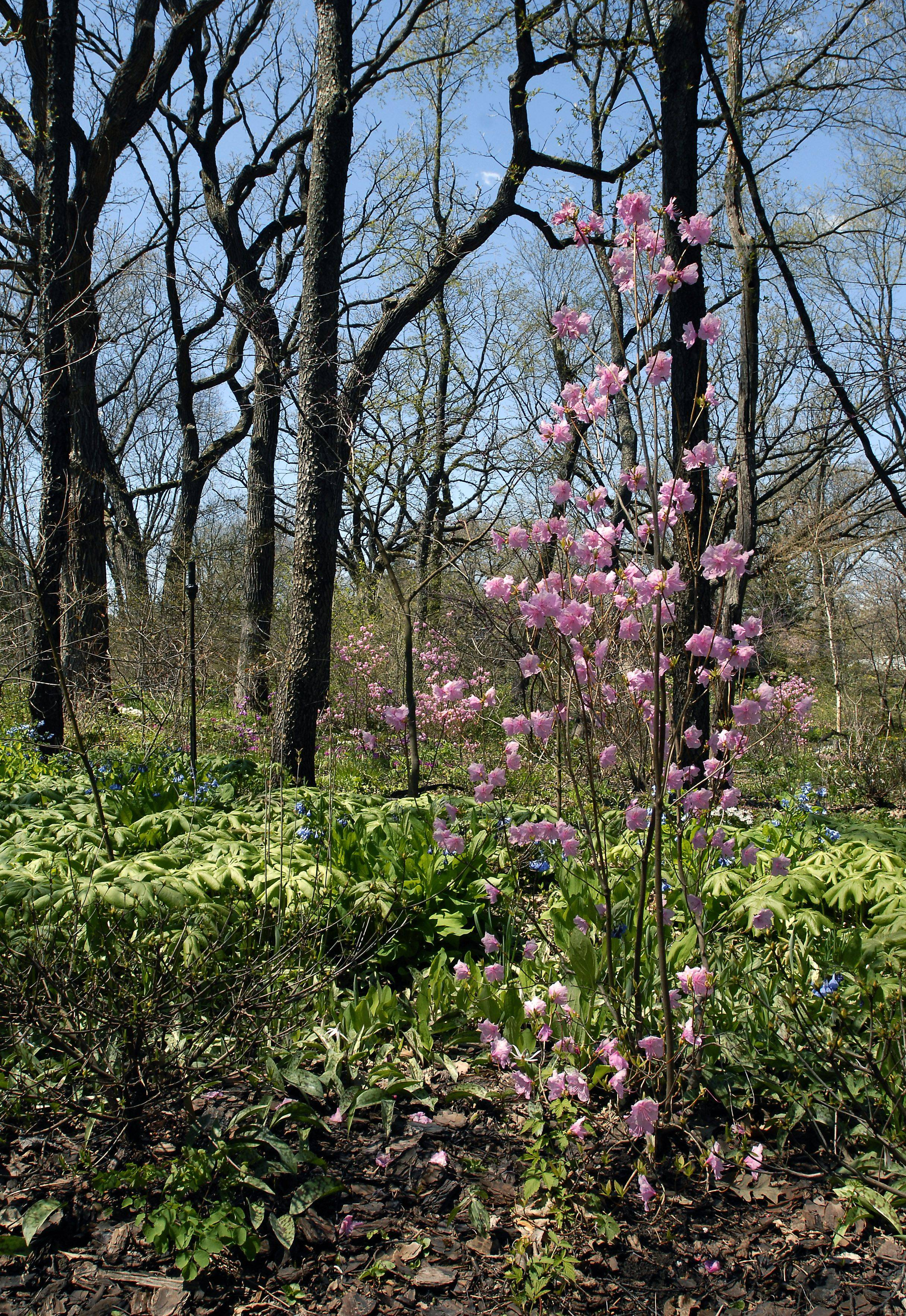 Azaleas and rhododendrons could be the showiest plants at Barbara Wetzel's open garden.