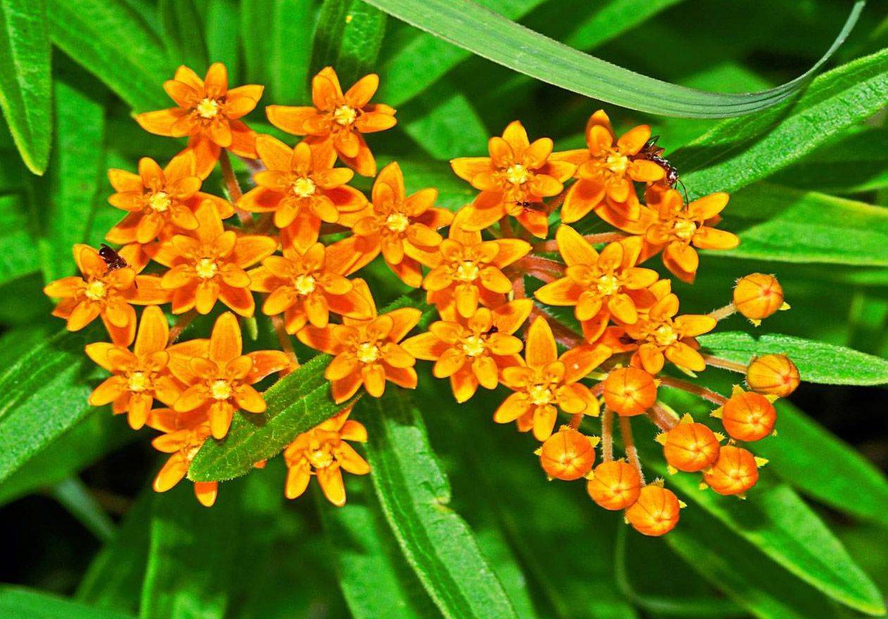 Butterfly milkweed is an example of an eco-friendly native plant.
