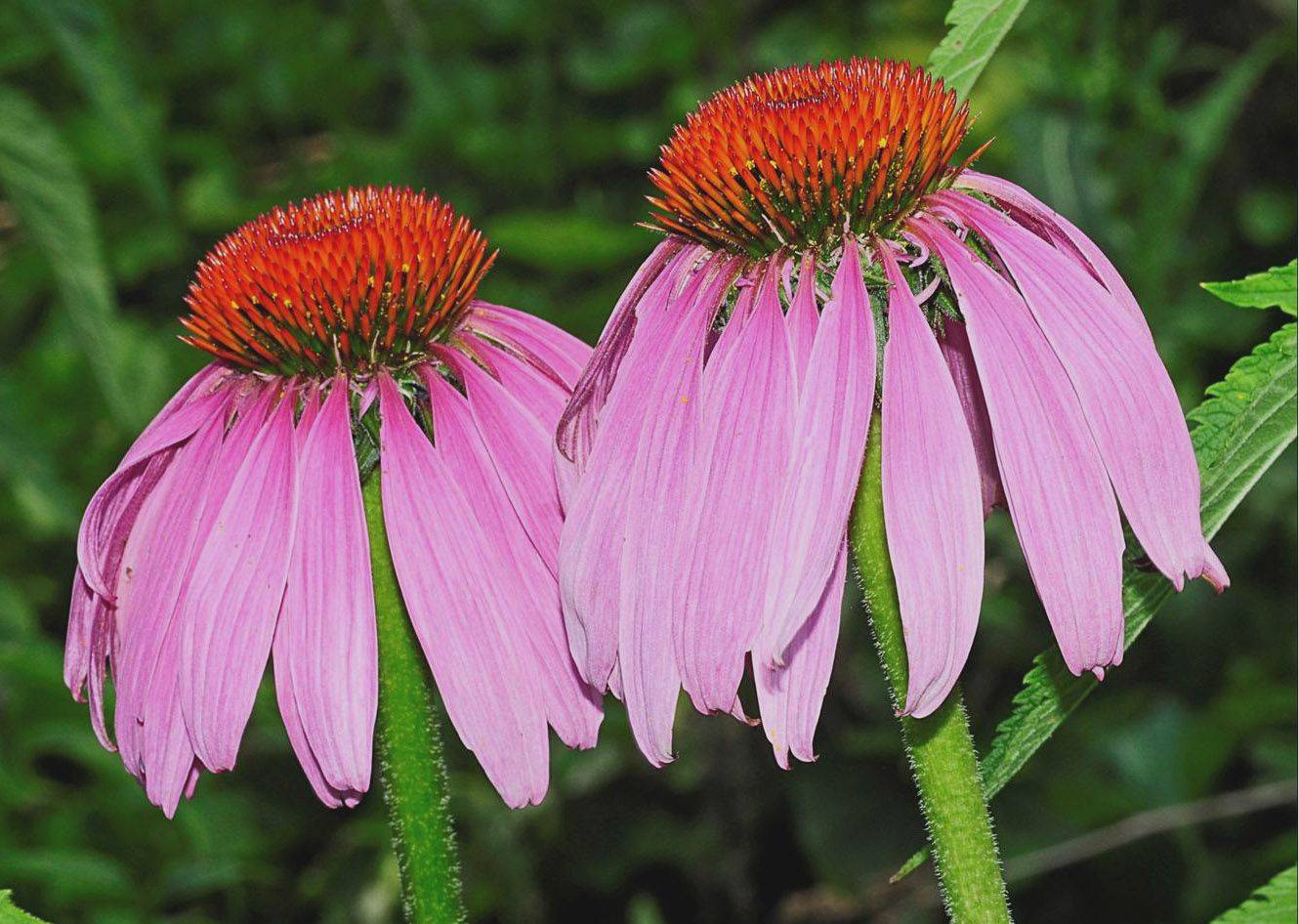 Purple coneflowers are among the native plant species that can attract songbirds and butterflies.