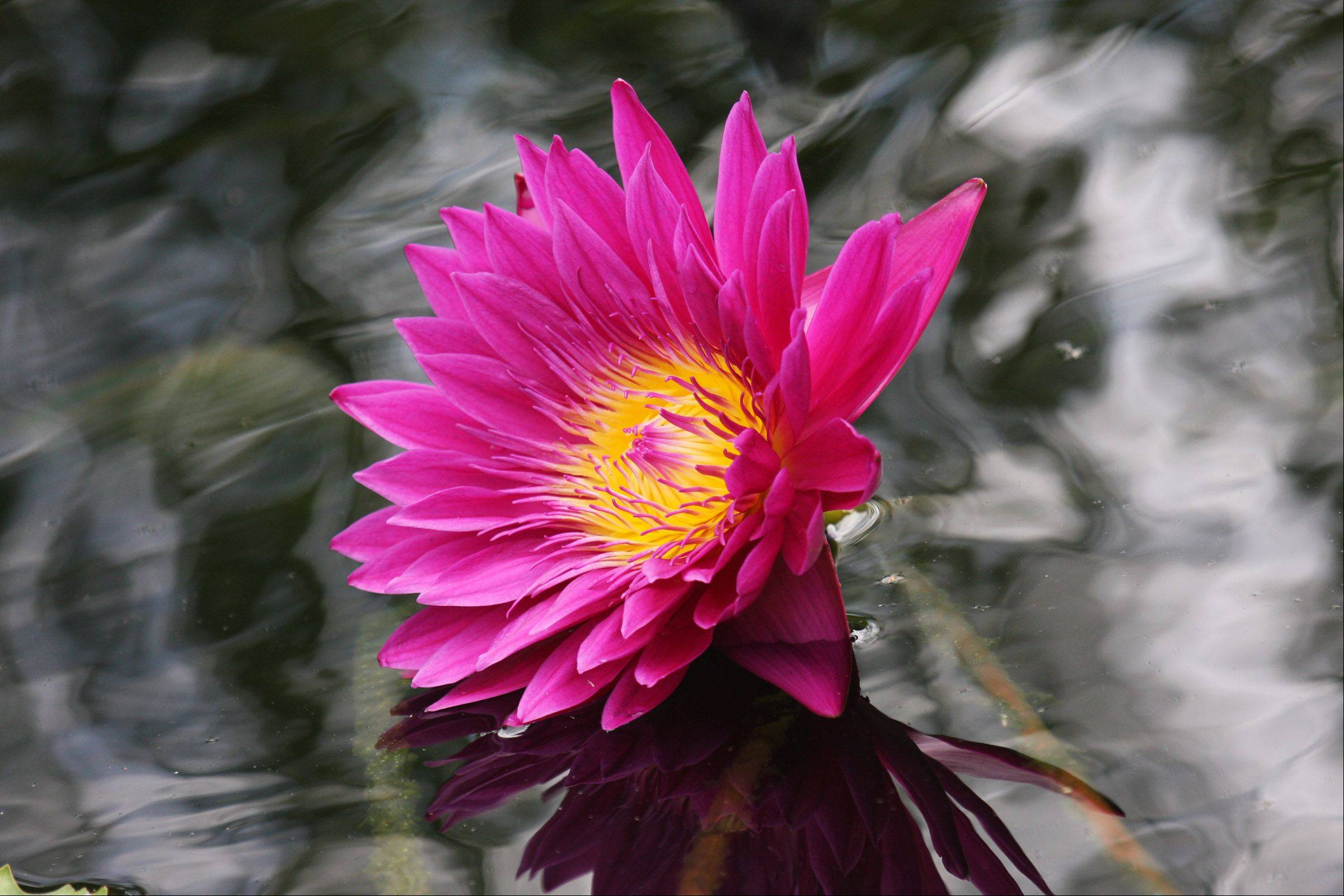 A bright pink water lily with its fiery center reflects against a background of cool water at the Chicago Botanic Gardens last summer.