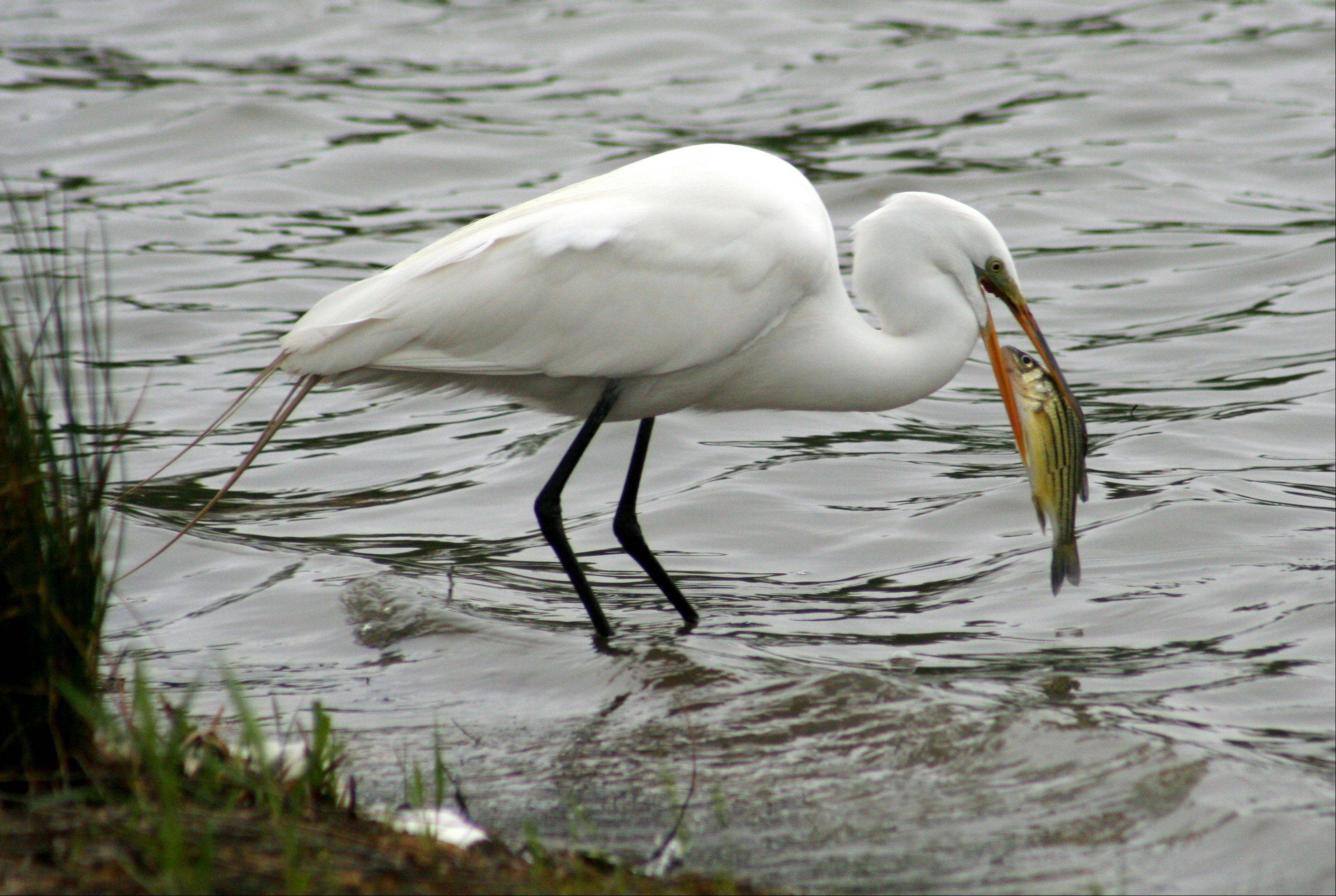 I took this photo of a Great Egret at Armstrong Park in Carol Stream, IL. I have noticed that the park has attracted new wildlife this spring, including herons, egrets, ducks, geese, and other interesting birds. I like the way it looks like the eyes of the egret are aligned with the eyes of the fish. I used a telephoto lens and stood about ten feet away.