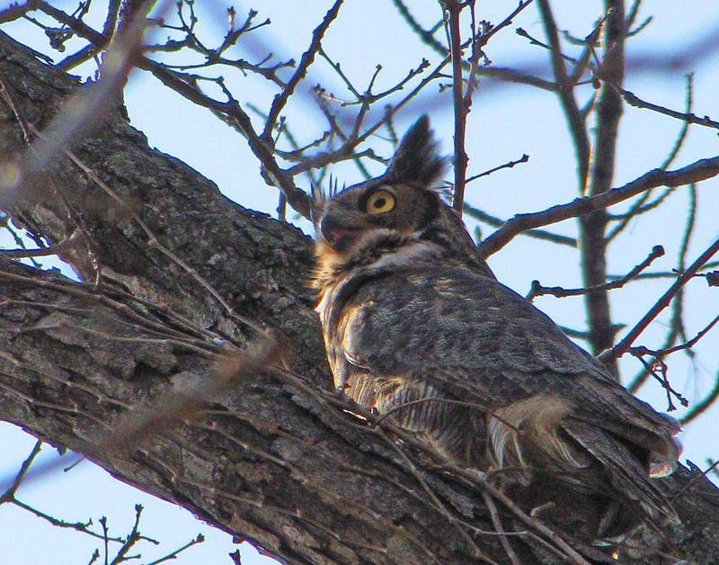 "This great-horned owl, an improbable daytime sighting, easily won ""bird of the day"" honors during a recent hike at Cantigny Park in Wheaton."