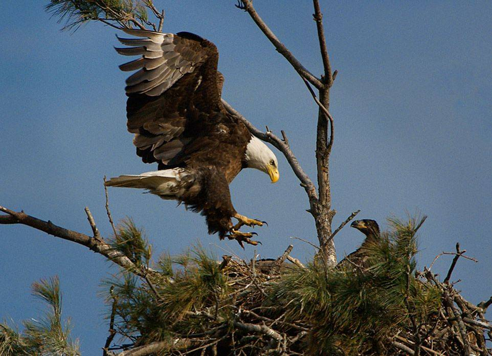 A bald eagle returns to its nest.