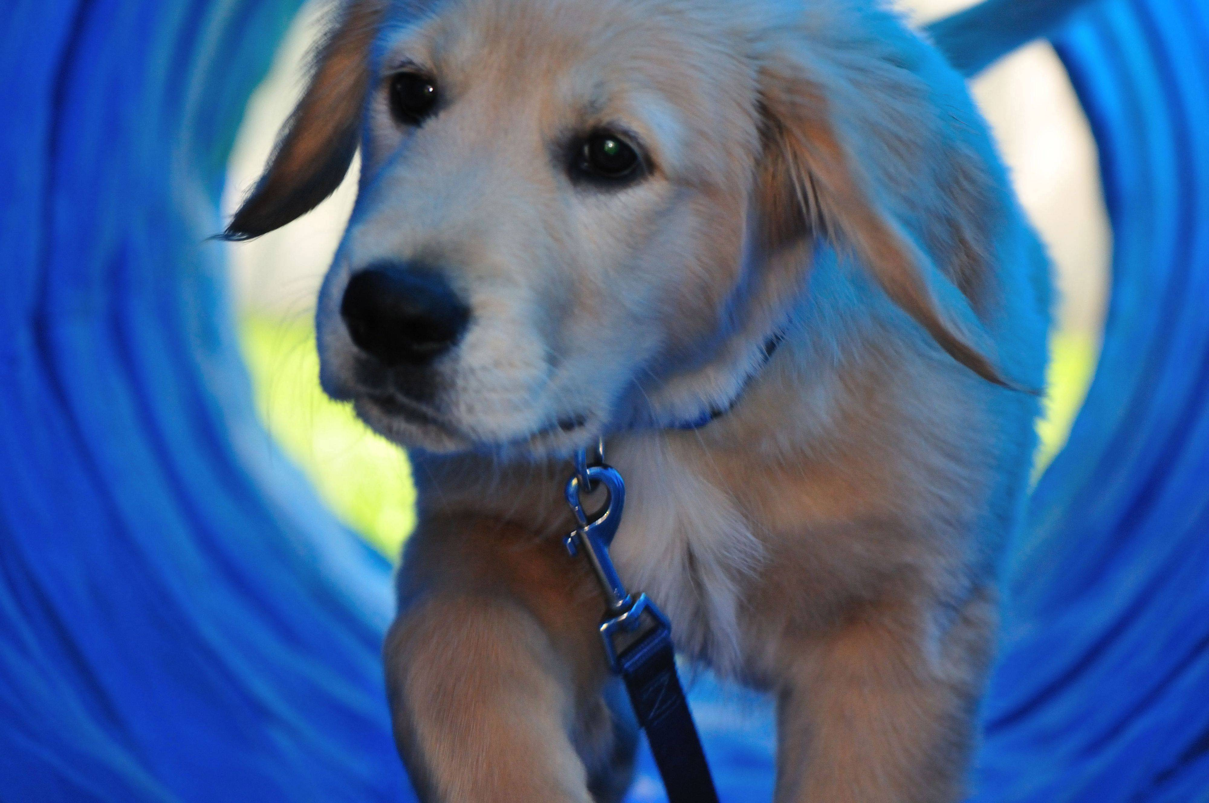 A young golden retriever pup gets his first introduction to the tunnel on an agility course last month.