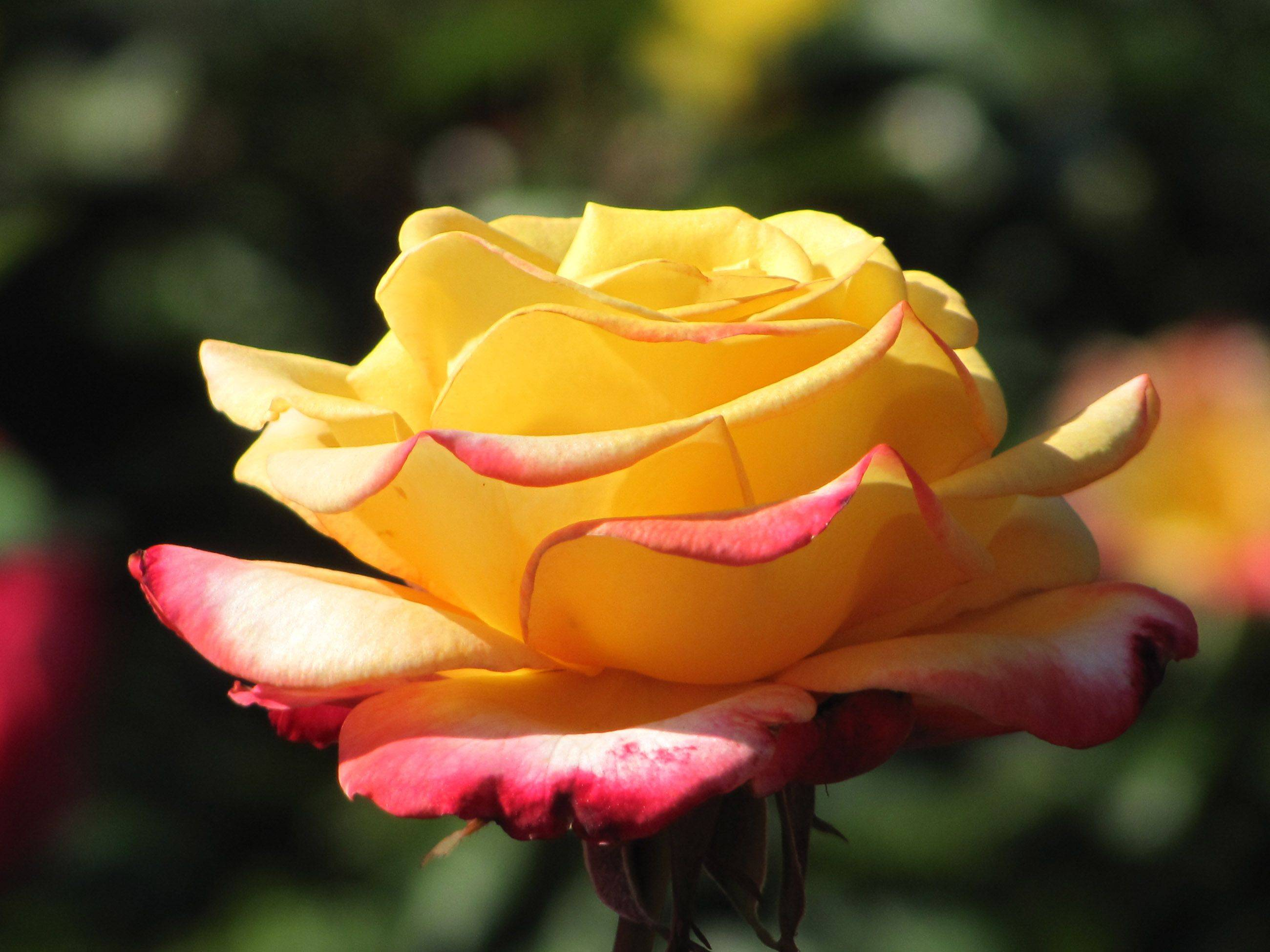 I took this picture last year at the Chicago Botanic Garden. I love the roses with more than one color on them.
