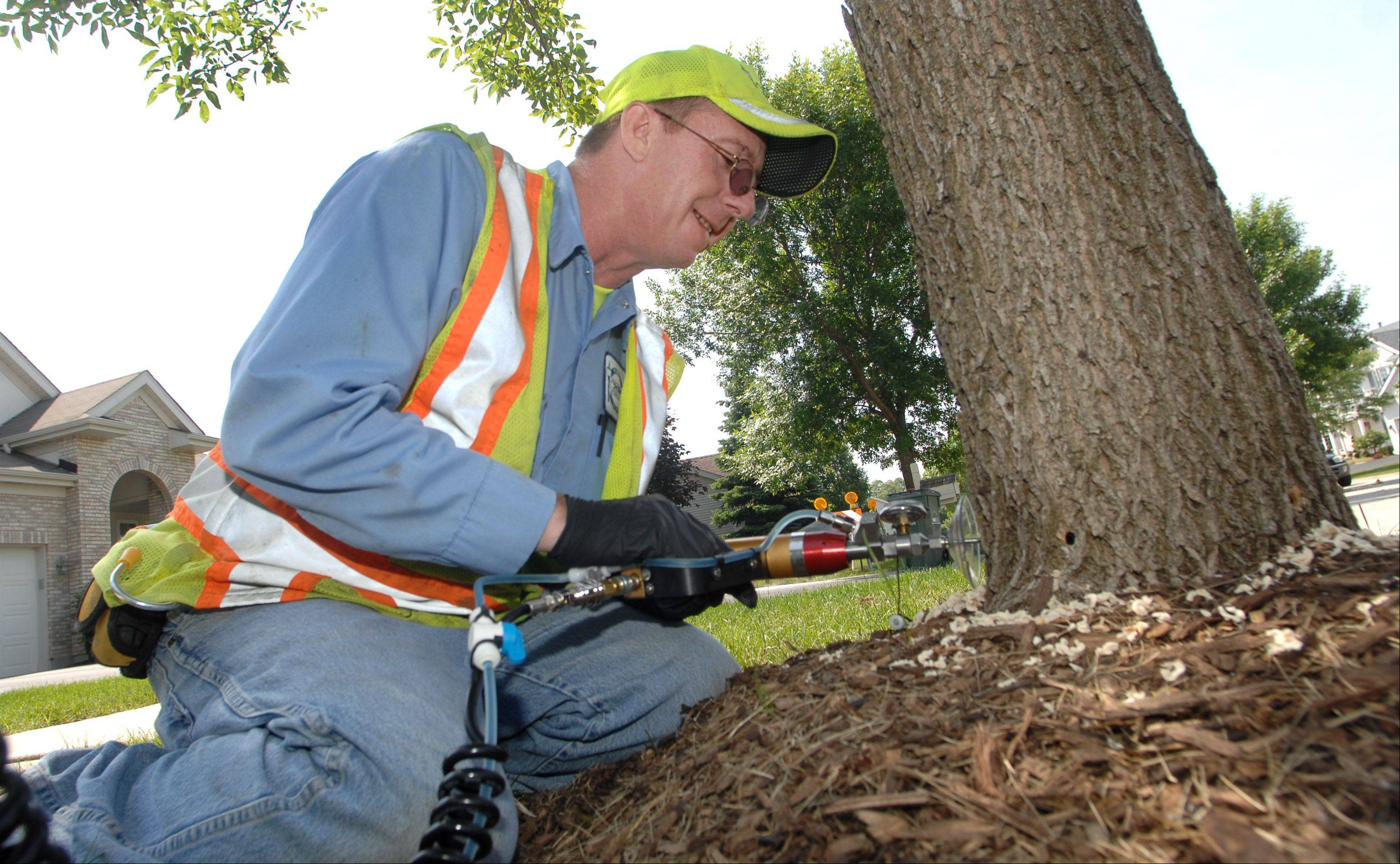 Gurnee Public Works employee Chris Chamberlain injects chemicals into an ash tree Friday morning on Bellview Court in Gurnee.