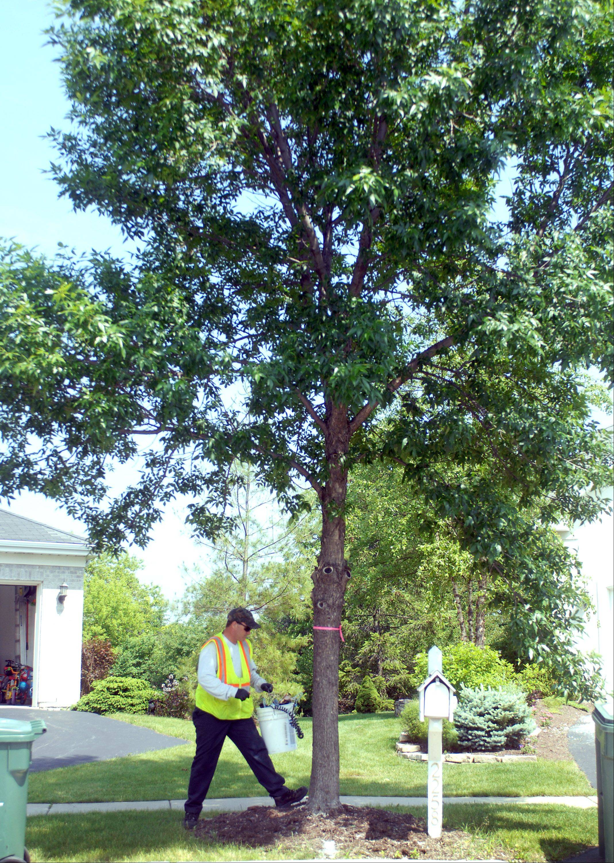 Gurnee Public Works employee Karl Davis treats an ash tree for the emerald ash borer in the Steeple Pointe subdivision Friday morning.