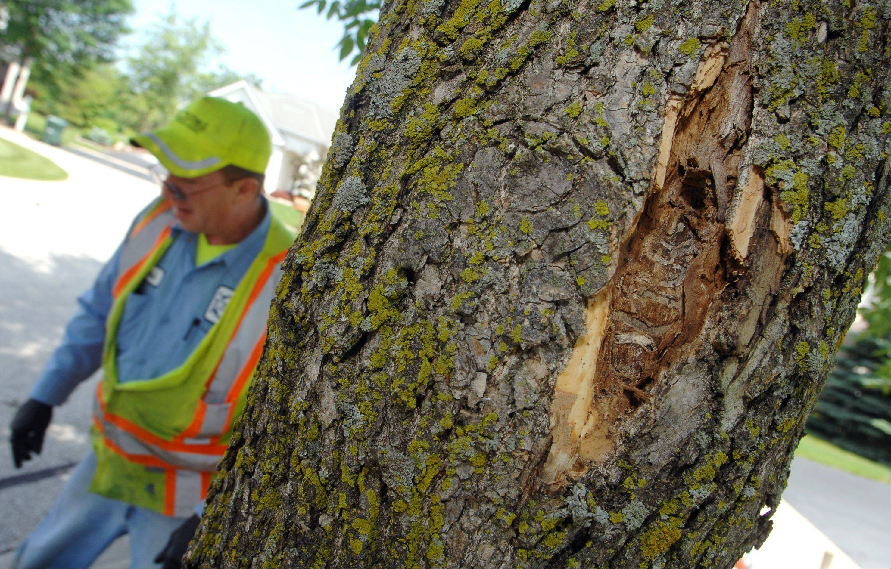This tree on Bellview Court in Gurnee shows signs of damage from the emerald ash borer. Crews from Gurnee Public Works forestry department use an insecticide to try to save public parkway ash trees in the Steeple Pointe subdivision Friday morning.