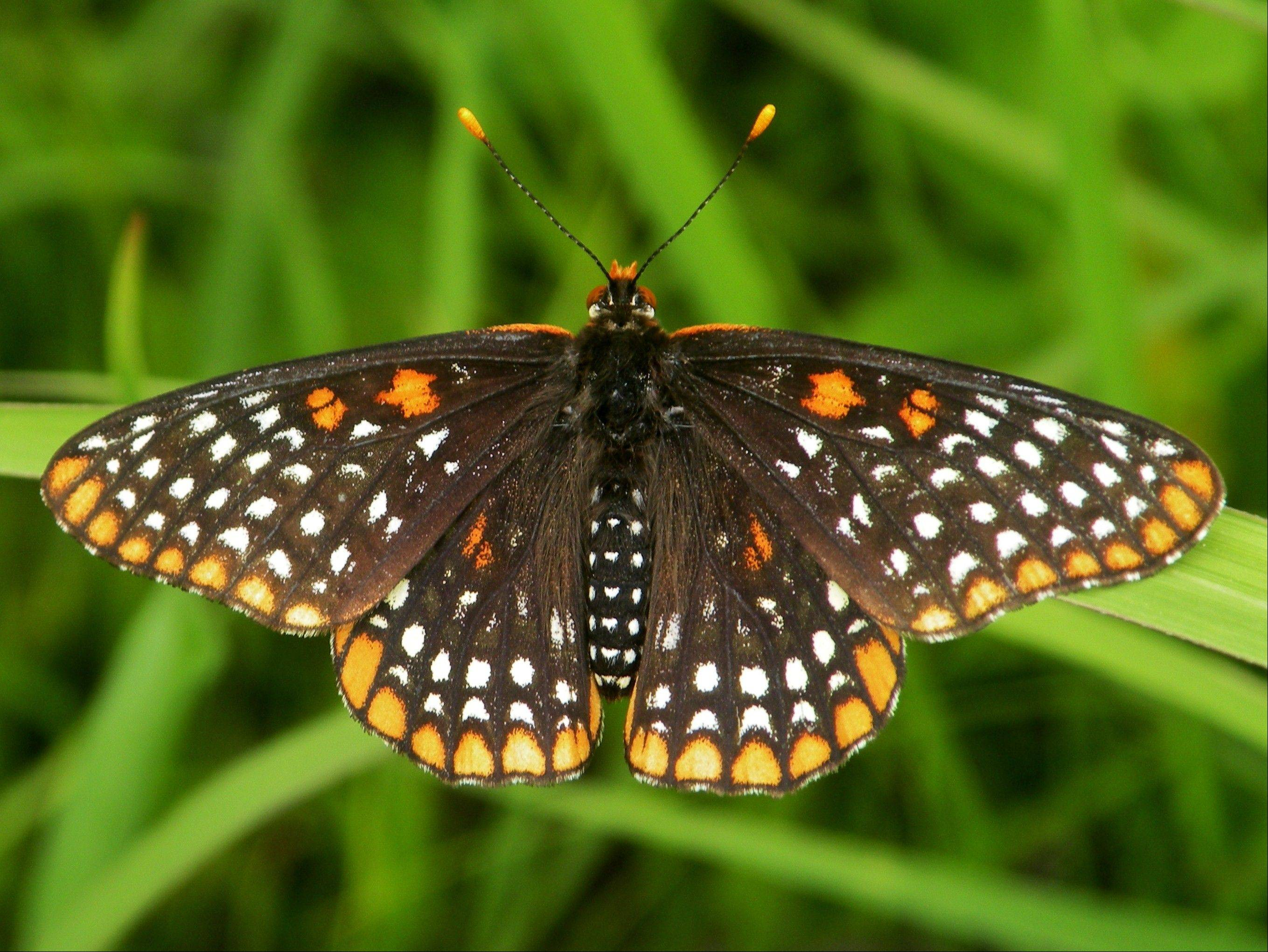 A wetlands butterfly that needs healthy natural environments to survive, the Baltimore Checkerspot is rare in the suburbs.