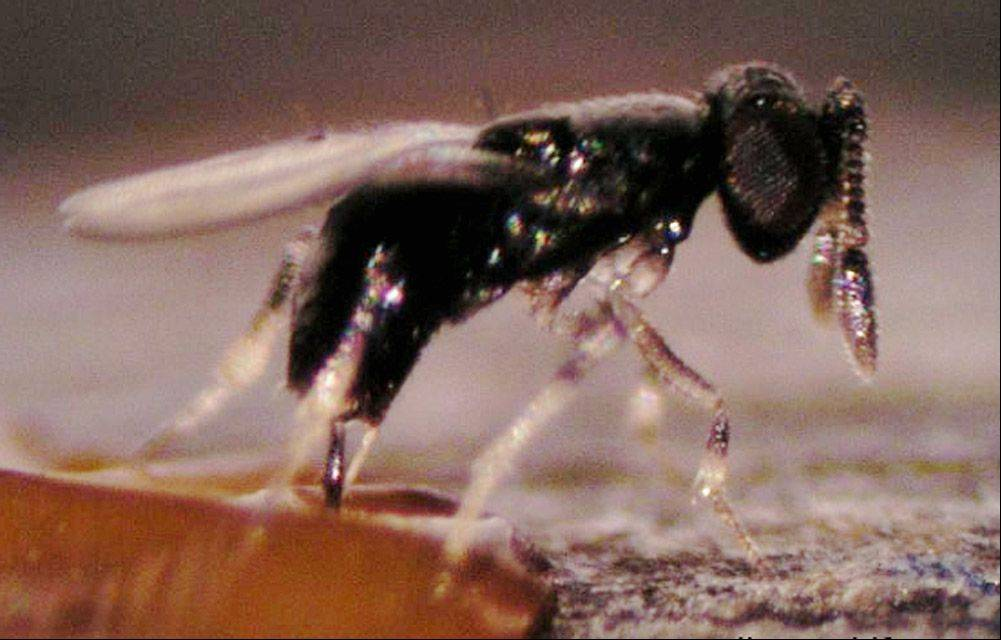 Lake County battles ash borer with predator wasps