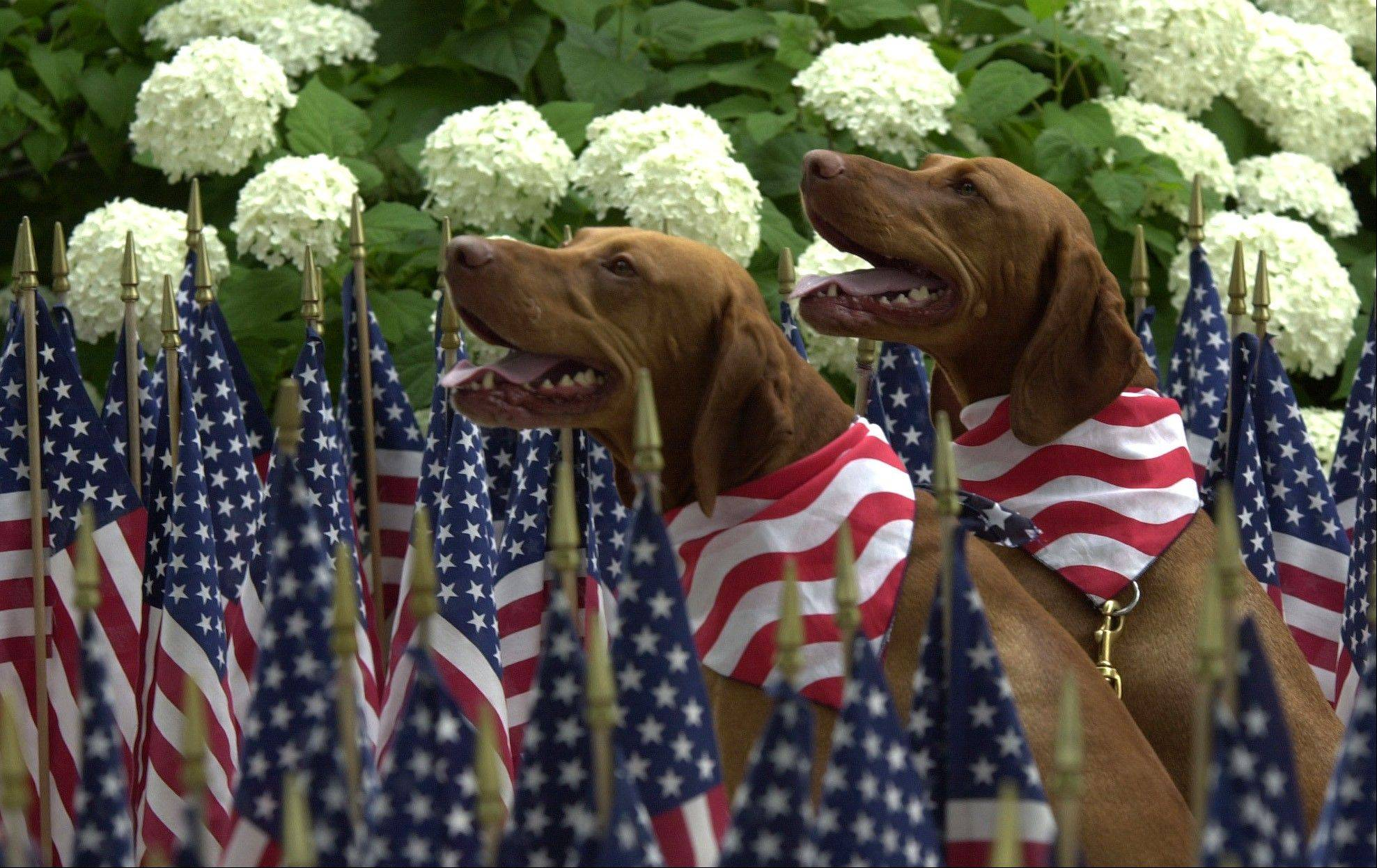 Two patriotic pooches pose before a past year's Fourth of July parade.
