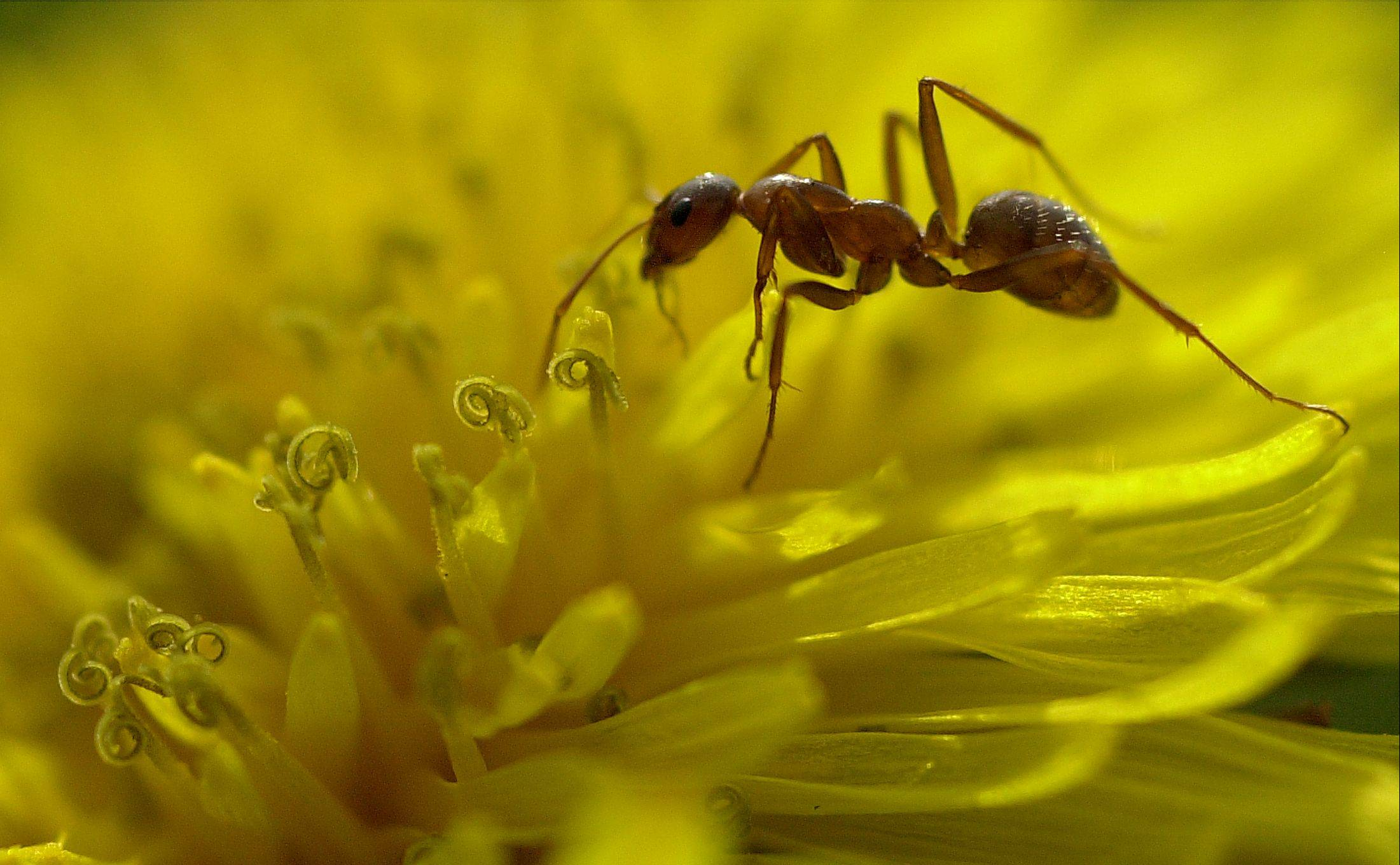 Above, a field ant harvests nectar from a dandelion.