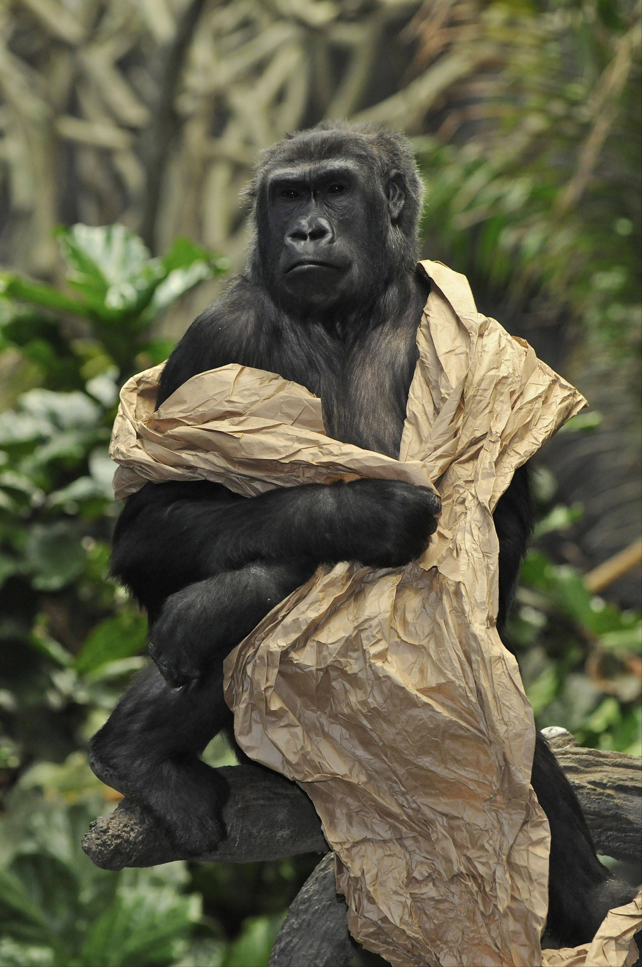 A western lowland gorilla plays with the paper and eventually wraps it around it's shoulders giving the appearance of wearing a robe at the Brookfield Zoo's Tropic World last year.