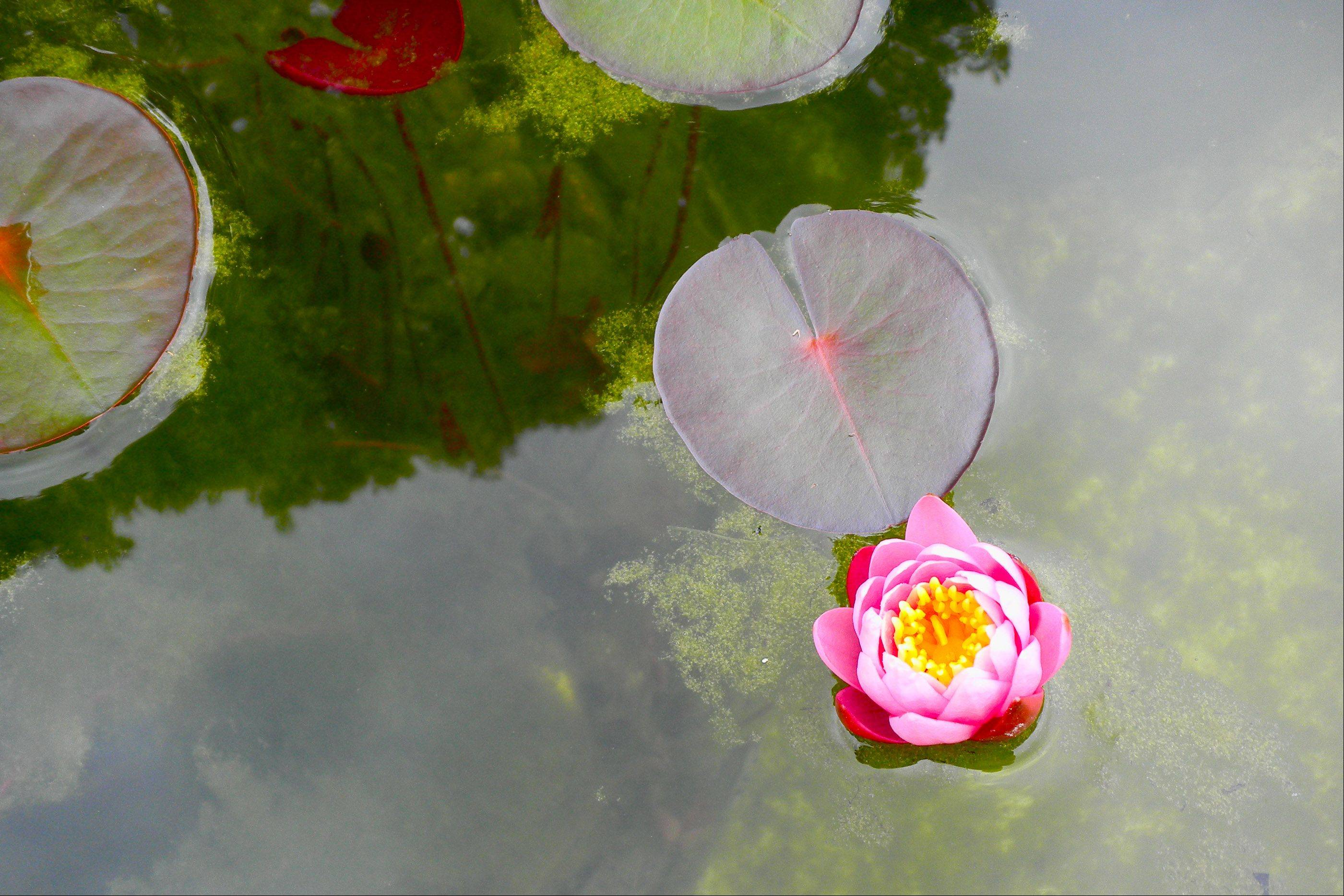 I was in Holland Michigan last week and walked by a lily pond several times a day. Each time I would take a photo with my Nikon Coolpix, but was not satisfied until a mostly cloudy day. The photo almost looks like an impressionistic painting. I love the slight reflection of the clouds.