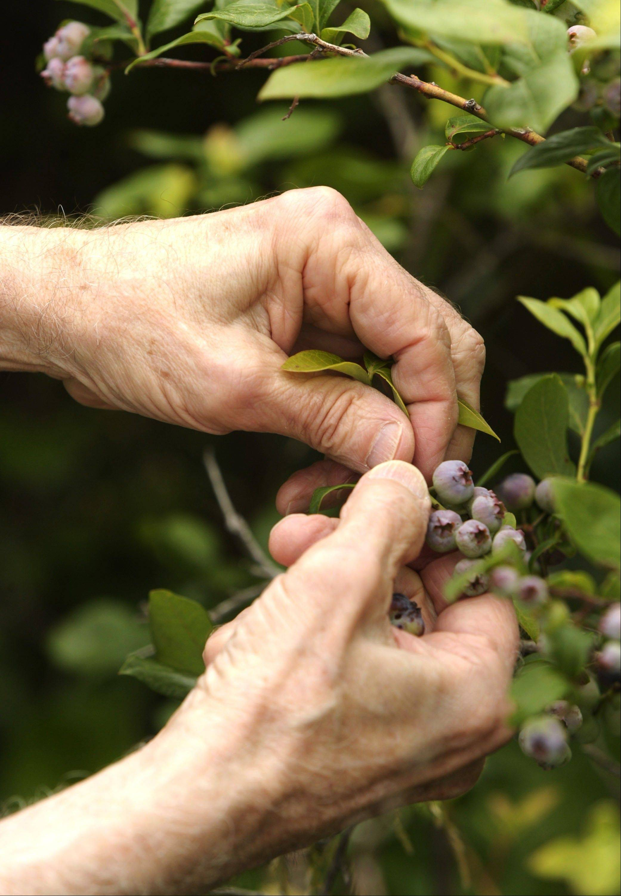 Rick Pontious and his wife, Nancee, plan to close their White Heath berry farm at the end of this season.