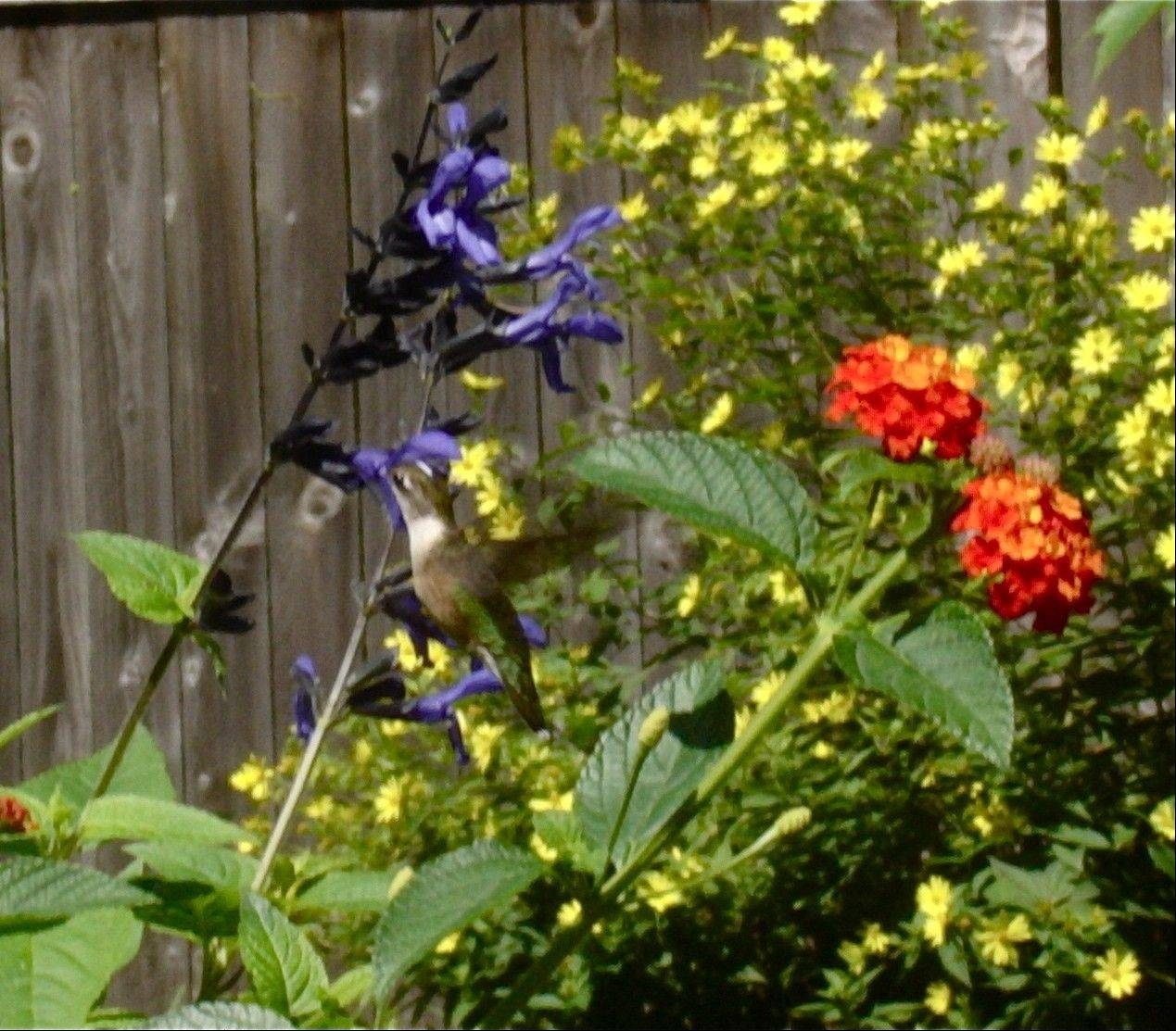 Provide flowers or feeders, a place to rest and water and you may attract hummingbirds to your garden.