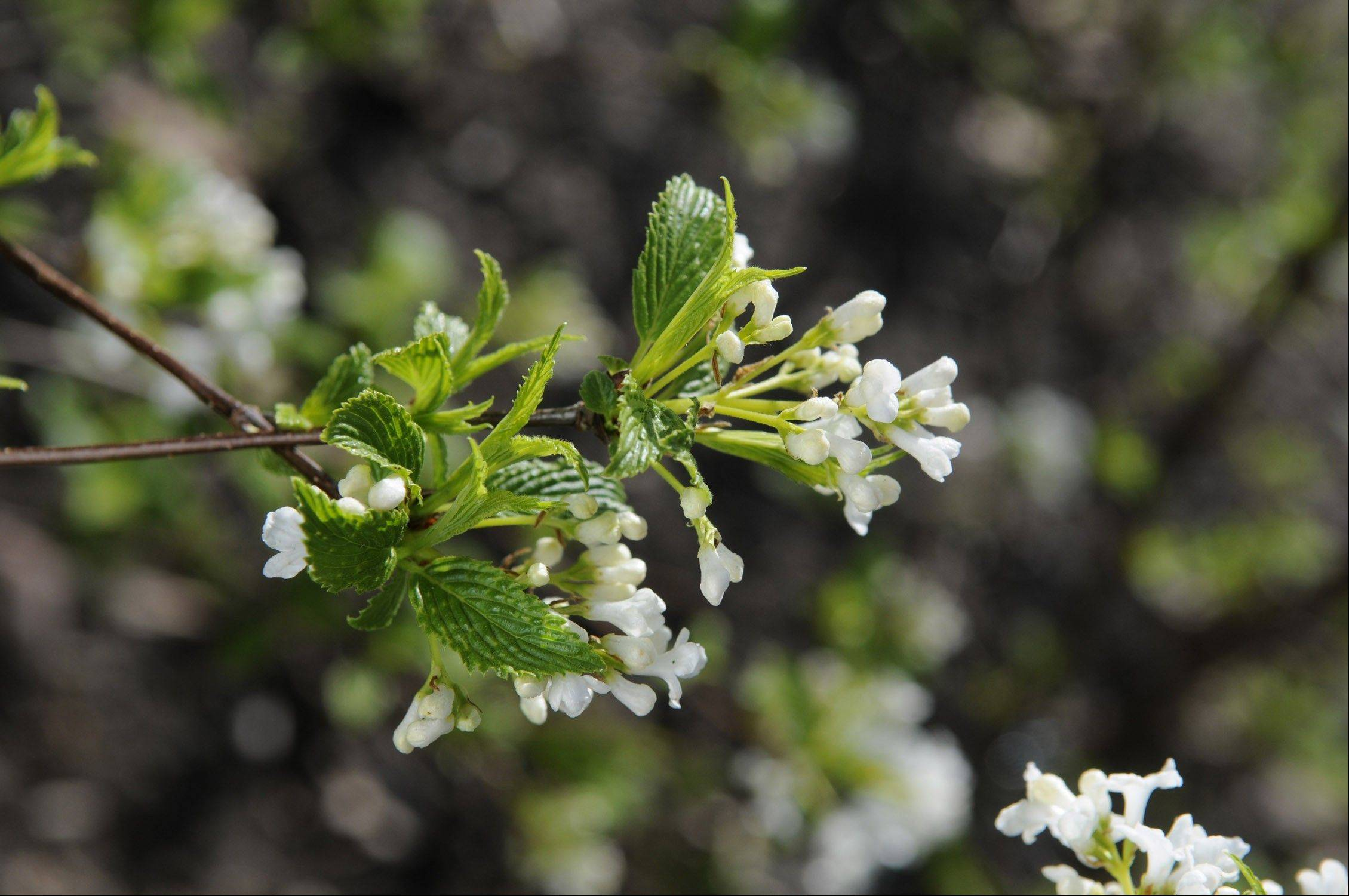 If pruning in late summer on spring-flowering shrubs, such as this viburnum farreri, watch out for flower buds or you will cut down on next year�s blooms.