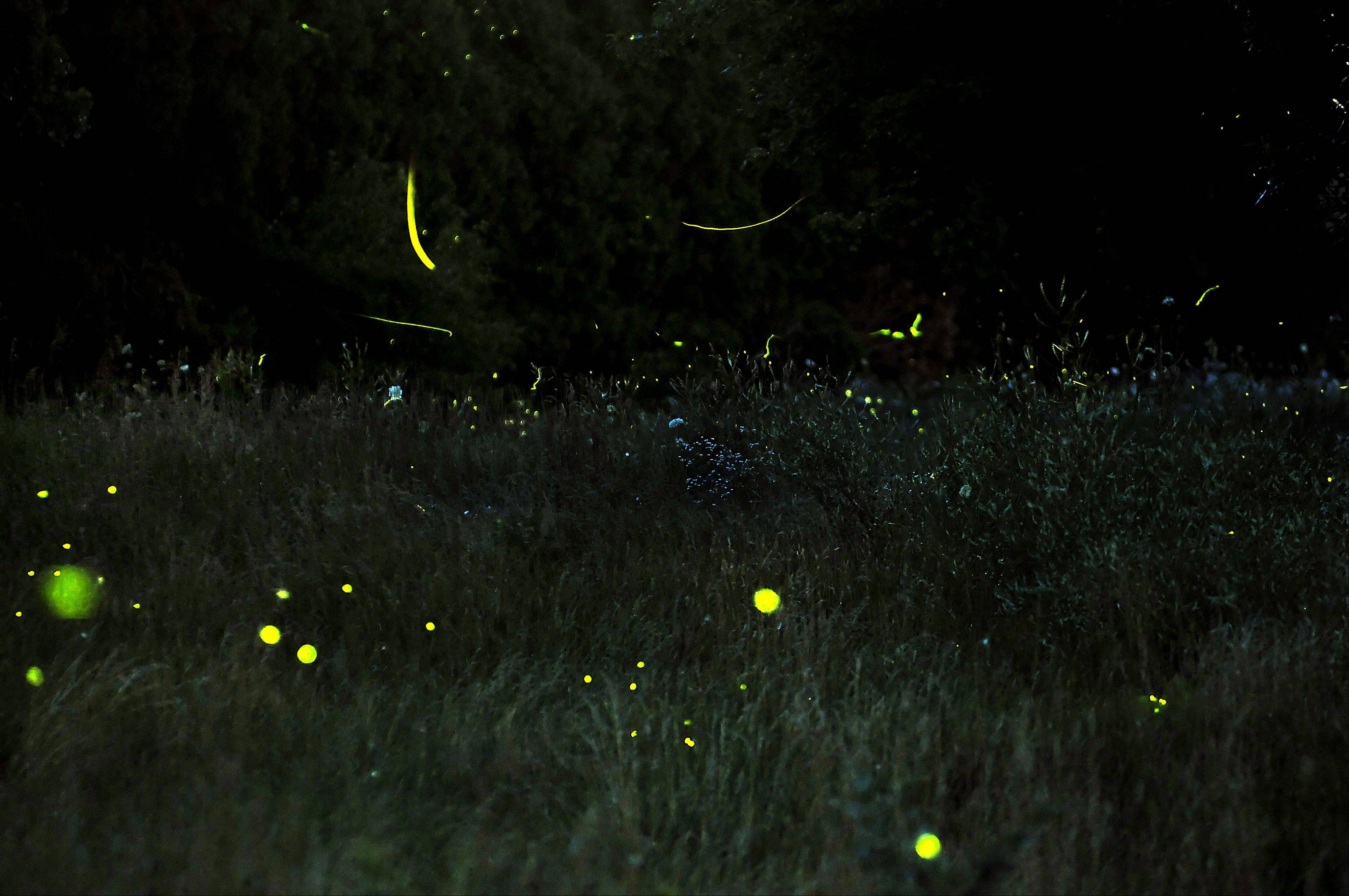 When the request for a photo of lightning bugs came to me, I imagined a gazillion tiny yellow dots hovering above the grass, with the cool glow of night above. When I attempted to make the picture, I found out that was difficult to execute. The tiny beetles just don�t make enough light, or stay still enough, to allow for the perfect photograph. This photo was taken at the Freeman Kame-Meagher Kane County Forest Preserve on Freeman Road in Huntley. I can count about 80 bugs in this photo. Can you?