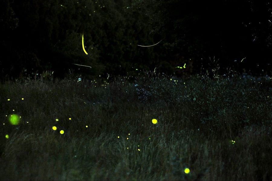 When the request for a photo of lightning bugs came to me, I imagined a gazillion tiny yellow dots hovering above the grass, with the cool glow of night above. When I attempted to make the picture, I found out that was difficult to execute. The tiny beetles just don't make enough light, or stay still enough, to allow for the perfect photograph. This photo was taken at the Freeman Kame-Meagher Kane County Forest Preserve on Freeman Road in Huntley. I can count about 80 bugs in this photo. Can you?