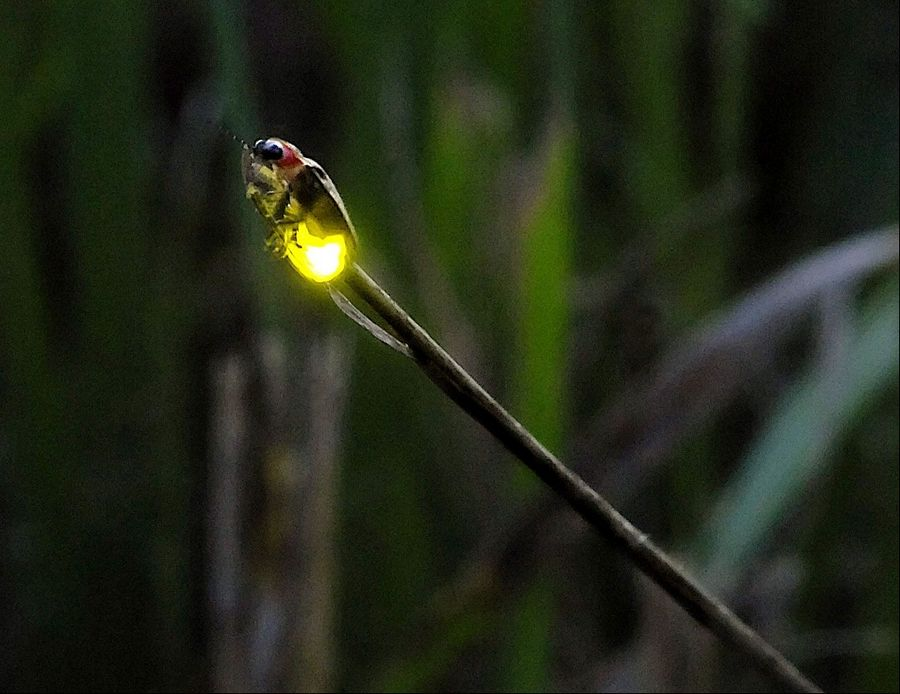 A lightning bug climbs to the top of a weed and stares into the darkness of the Freeman Kame-Meagher Kane County Forest Preserve on Freeman Road in Huntley.